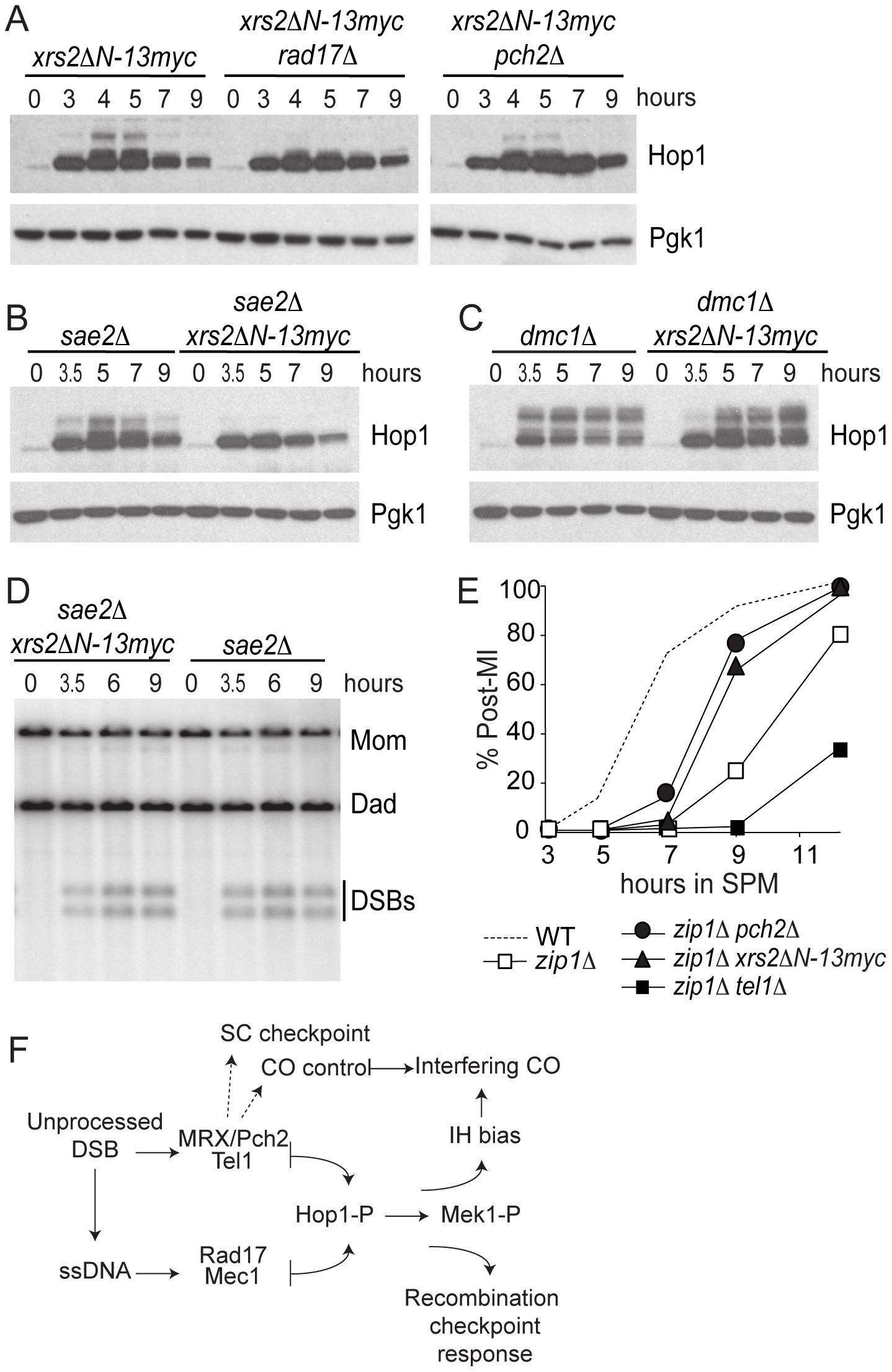 <i>xrs2ΔN-13myc</i> phenocopies <i>pch2Δ.</i>
