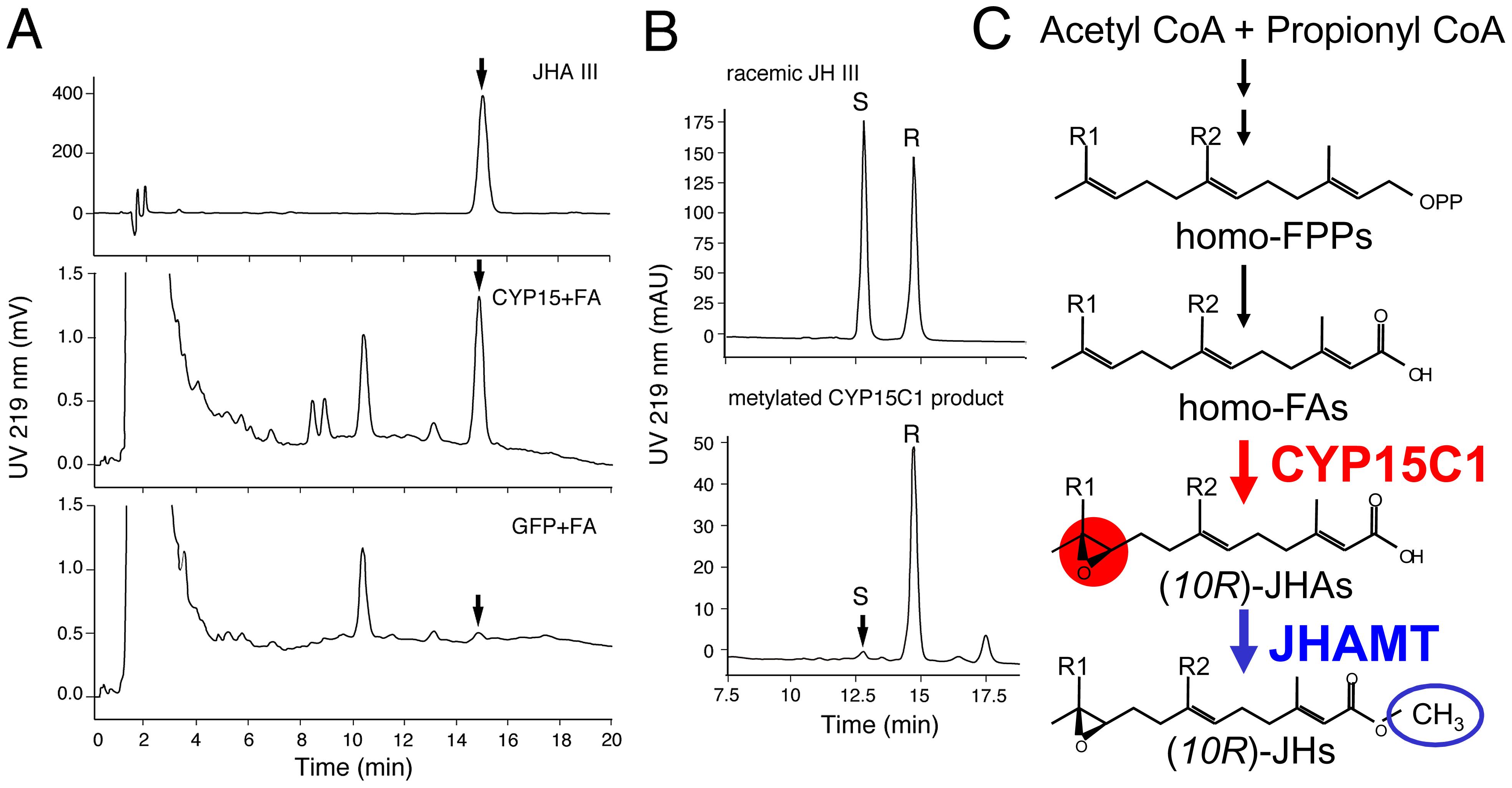 Enzymatic properties of <i>B. mori</i> CYP15C1.