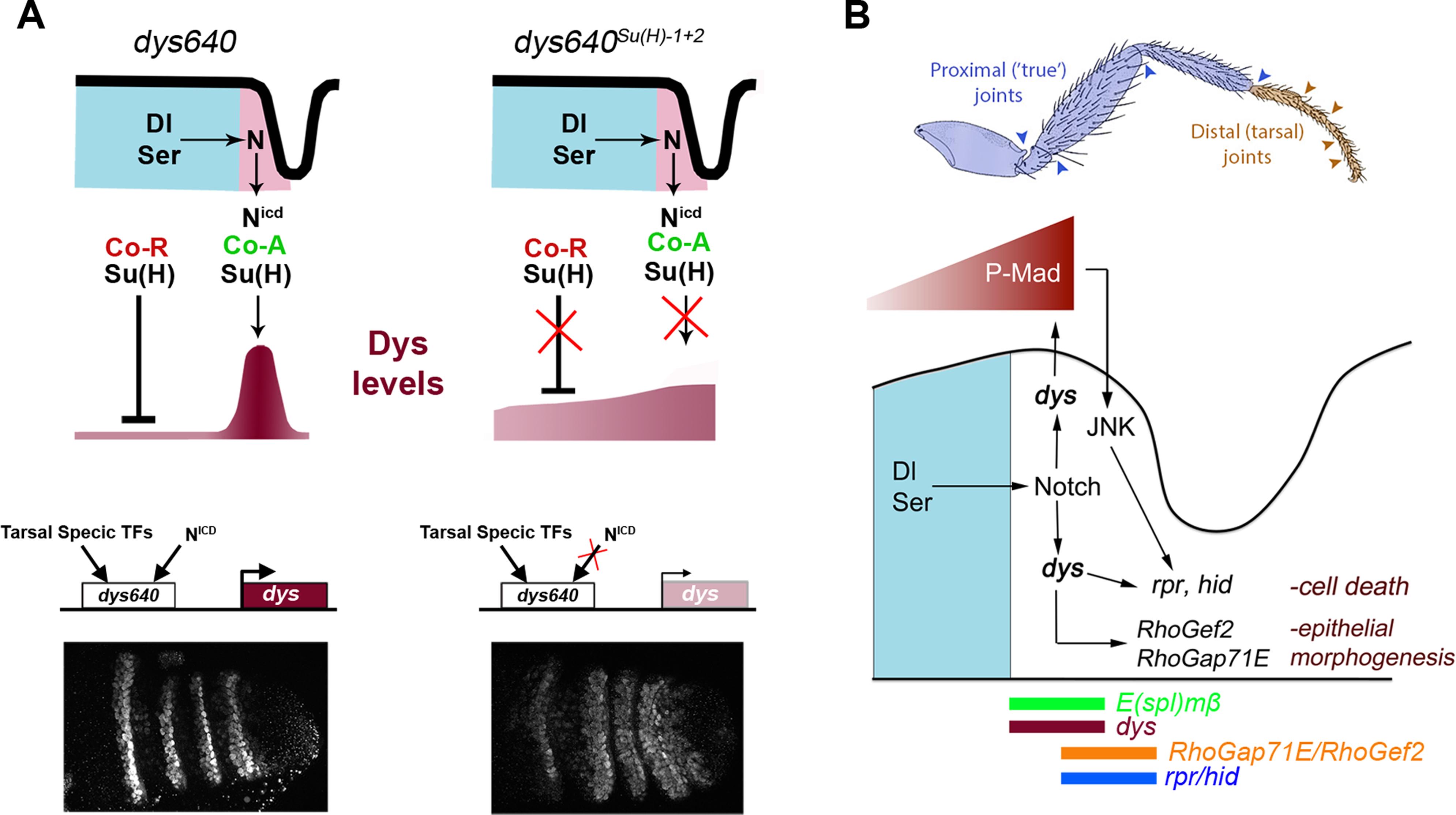 <i>dys</i> molecular regulation and model for tarsal joint development.