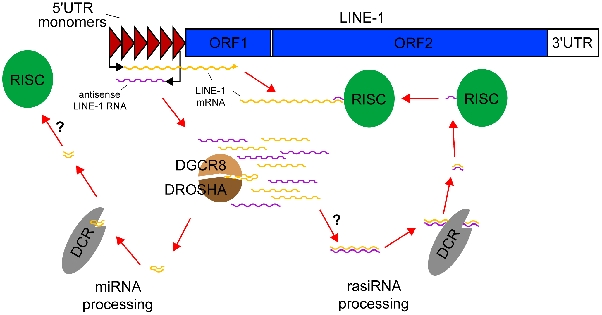 rasiRNAs inhibit LINE-1 expression in mESCs.
