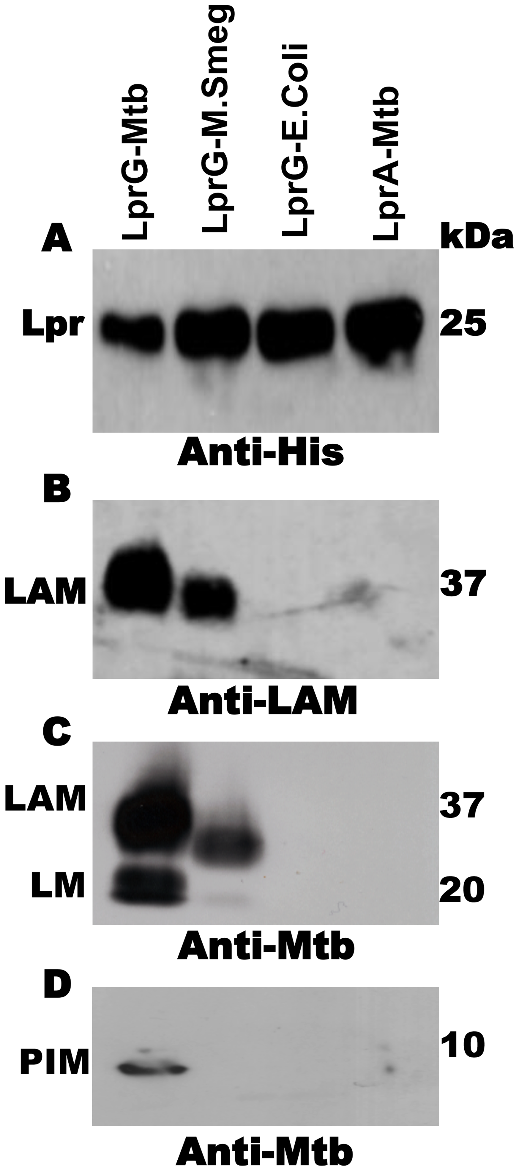 Acylated LprG binds lipoglycans in Mtb.