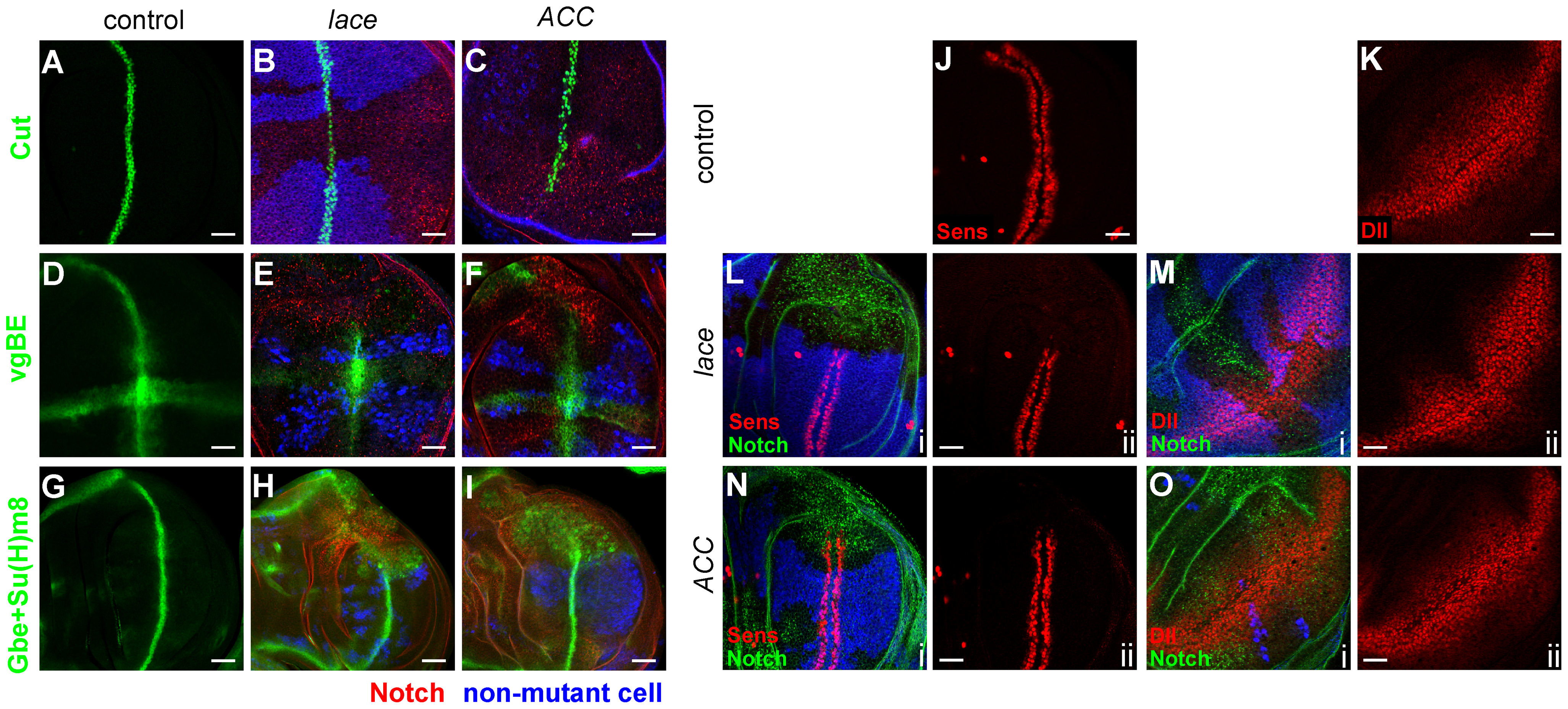 Notch and Wingless signaling abnormalities in <i>lace</i> and <i>ACC</i> mutants.