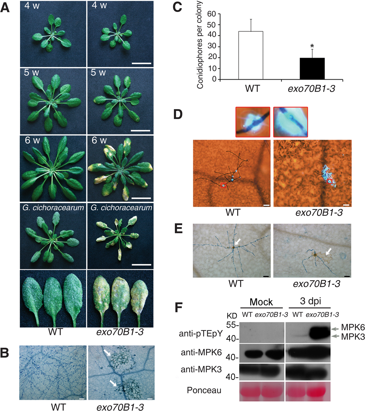<i>exo70B1-3</i> mutants display enhanced resistance to <i>G. cichoracearum</i>.