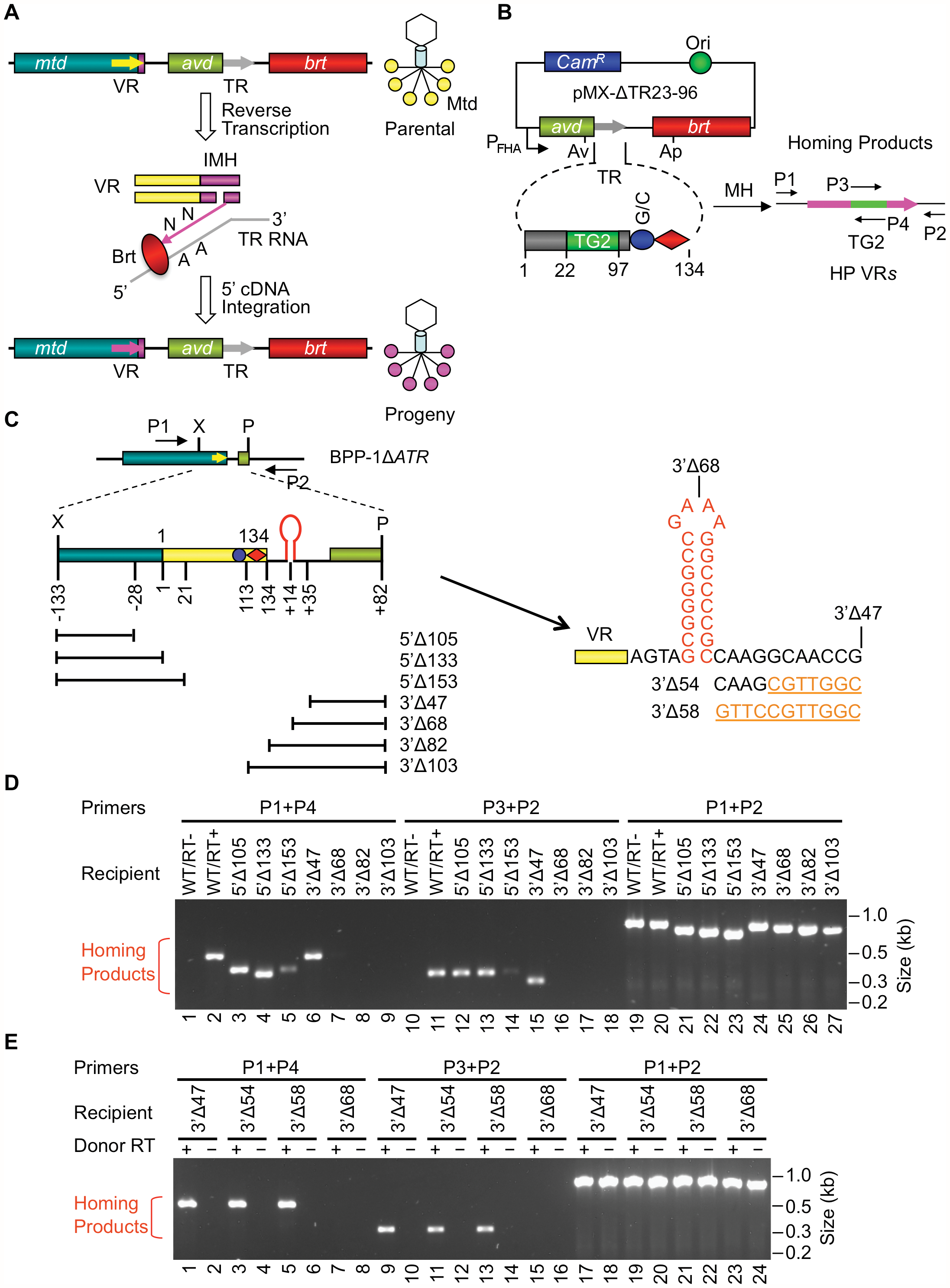 Boundaries of the BPP-1 DGR target sequence.