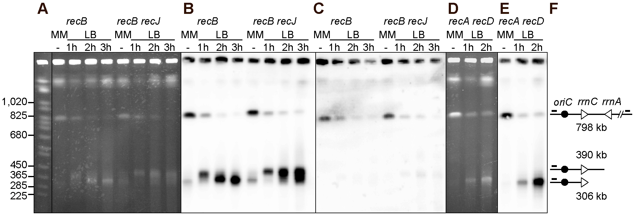 Chromosome breakage in InvA <i>recB</i> and InvA <i>recA recD</i> mutants.
