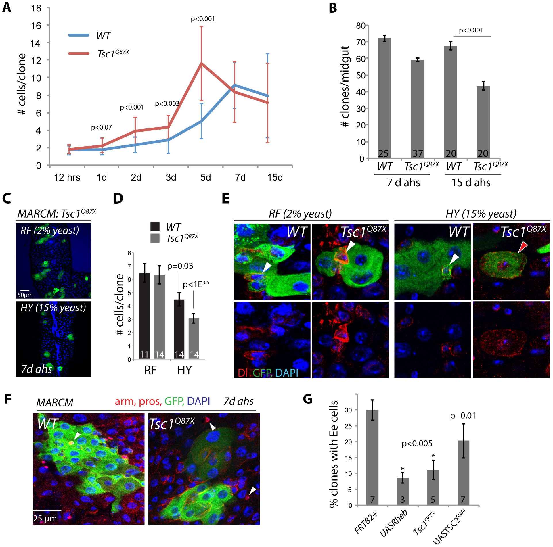 Nutrient-dependent dysfunction of TSC mutant ISCs.