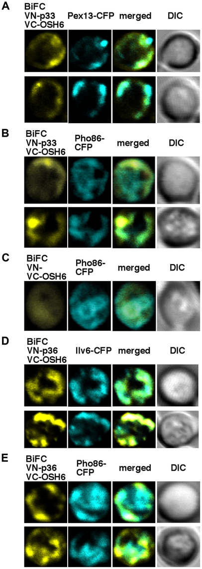 The tombusvirus p33 replication protein interacts with the yeast Osh6p protein in the ER.