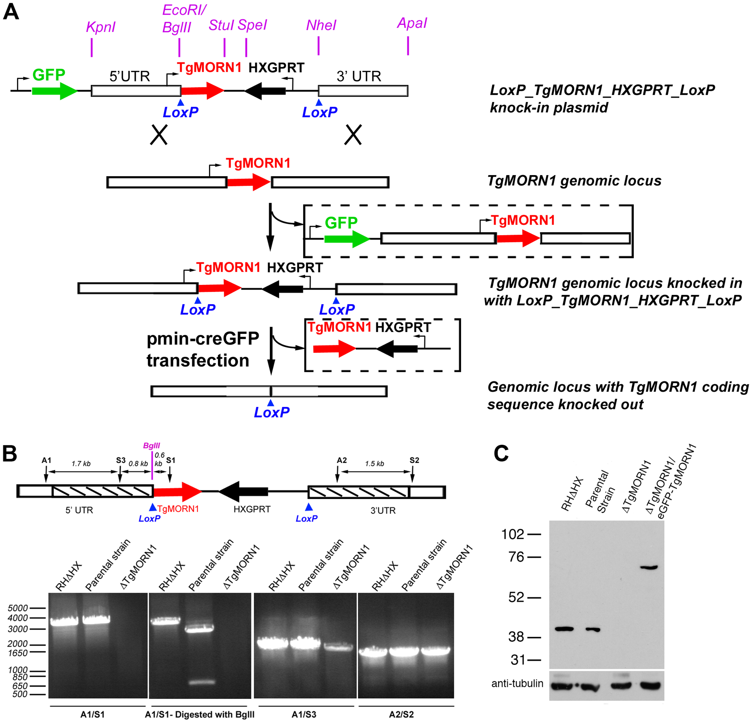 The generation of TgMORN1 knockout (<i>ΔTgMORN1</i>) parasites.
