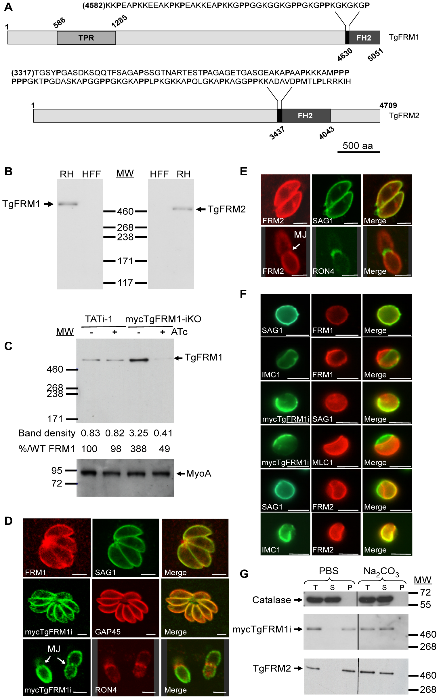 Expression and localization of TgFRM1 and TgFRM2 in tachyzoites.
