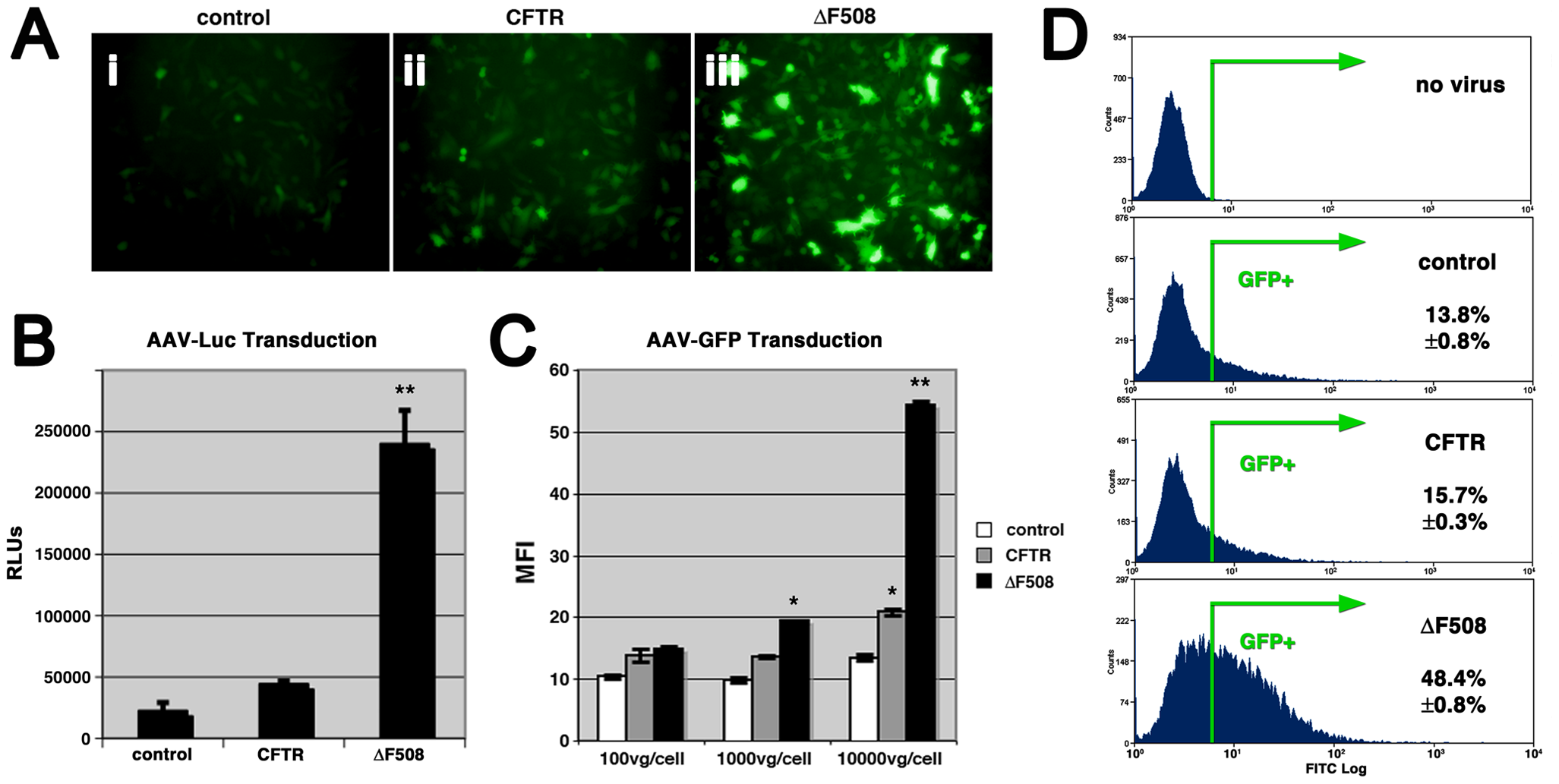 Cells expressing misfolded ΔF508-CFTR are more permissive to AAV infection.
