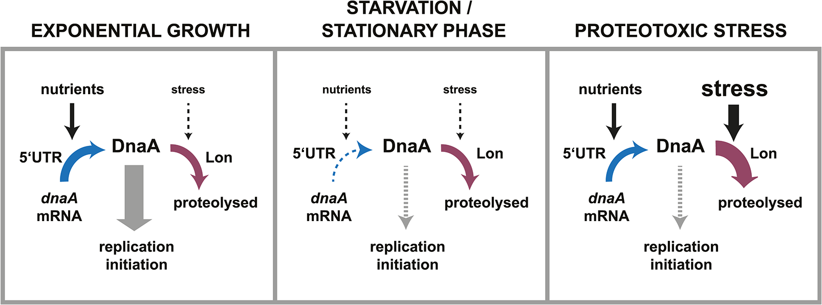 Dynamic control of DnaA abundance and DNA replication in response to environmental inputs.