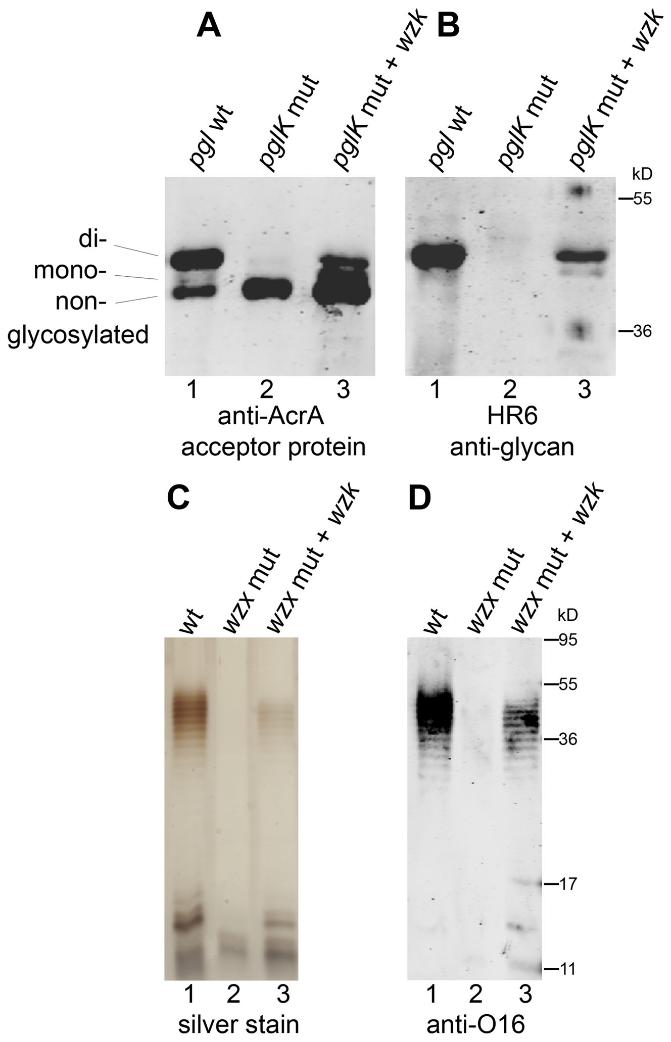 <i>H. pylori</i> has a flippase able to translocate diverse UndPP-linked glycans.