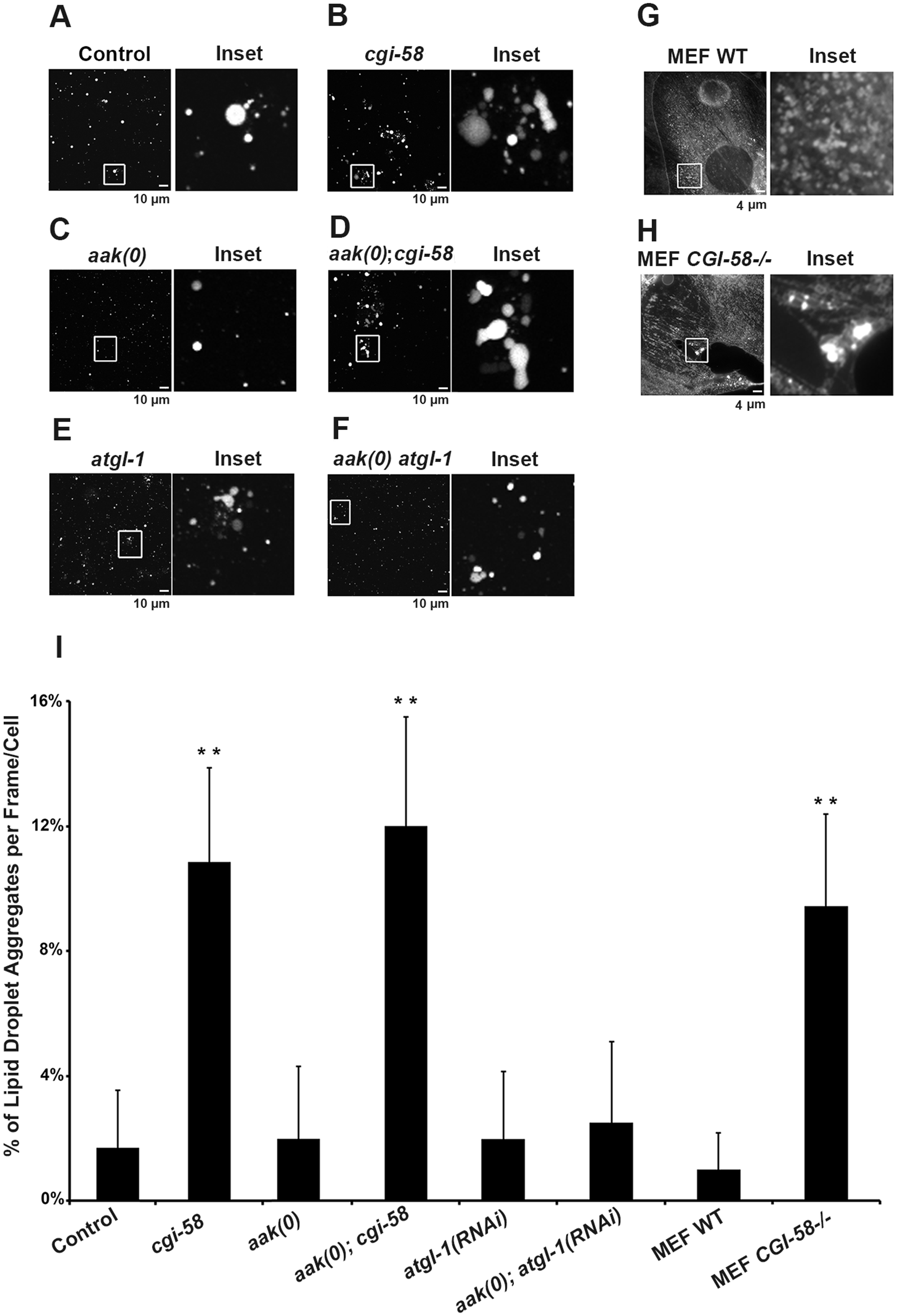 Increased lipid droplet aggregates were observed in CGI-58-deficient Dauers.