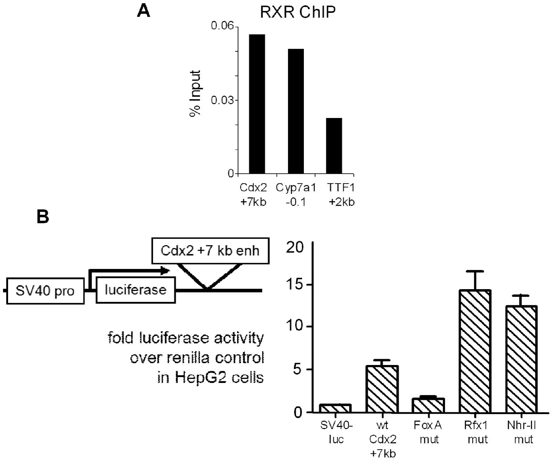 Repressive NHR-II factor binding to the <i>Cdx2</i> +7 kb enhancer.
