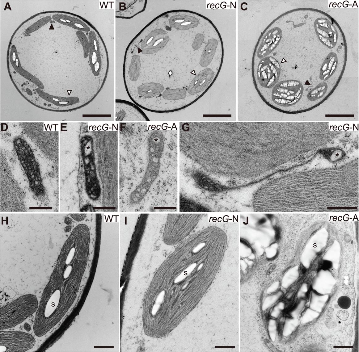Ultrastructure of <i>RECG</i> KO protonemal cells.