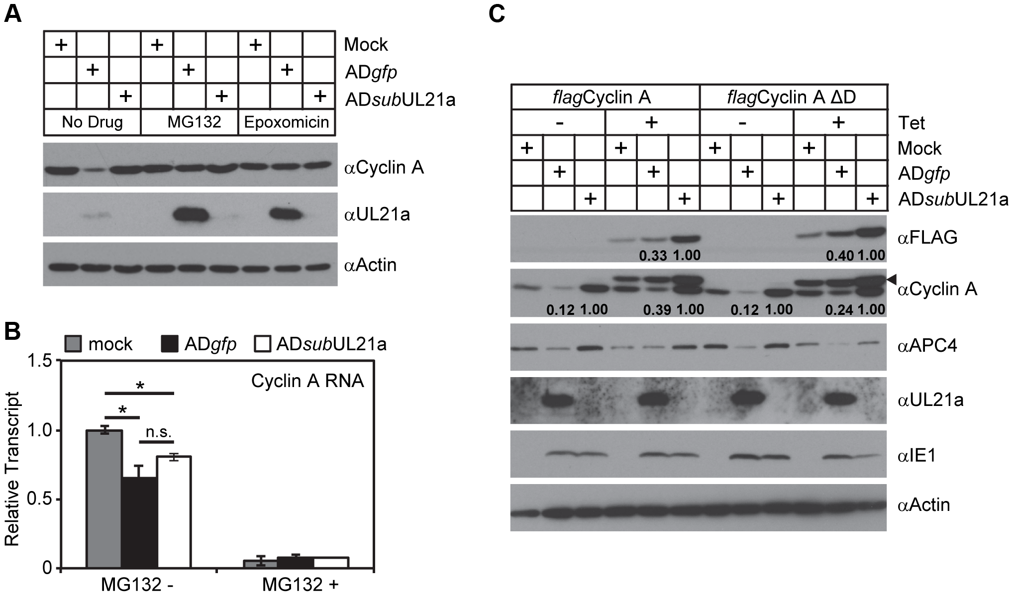 pUL21a induces proteasome-dependent degradation of cyclin A.