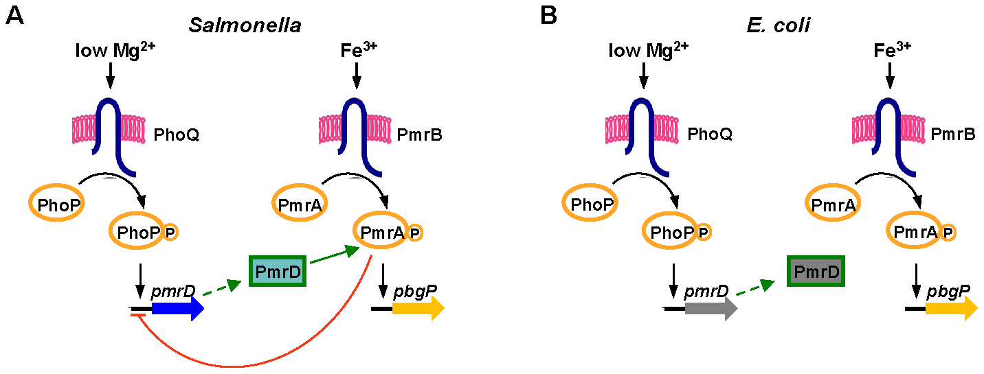 Model of the interactions between the PhoP/PhoQ and PmrA/PmrB two-component systems in <i>Salmonella</i> and <i>E. coli</i>.