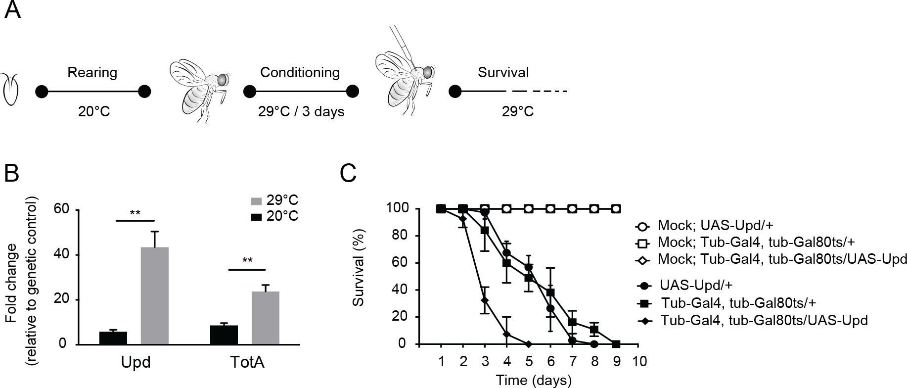 Hyperactivation of the Jak-Stat pathway renders flies hypersensitive to virus infection.