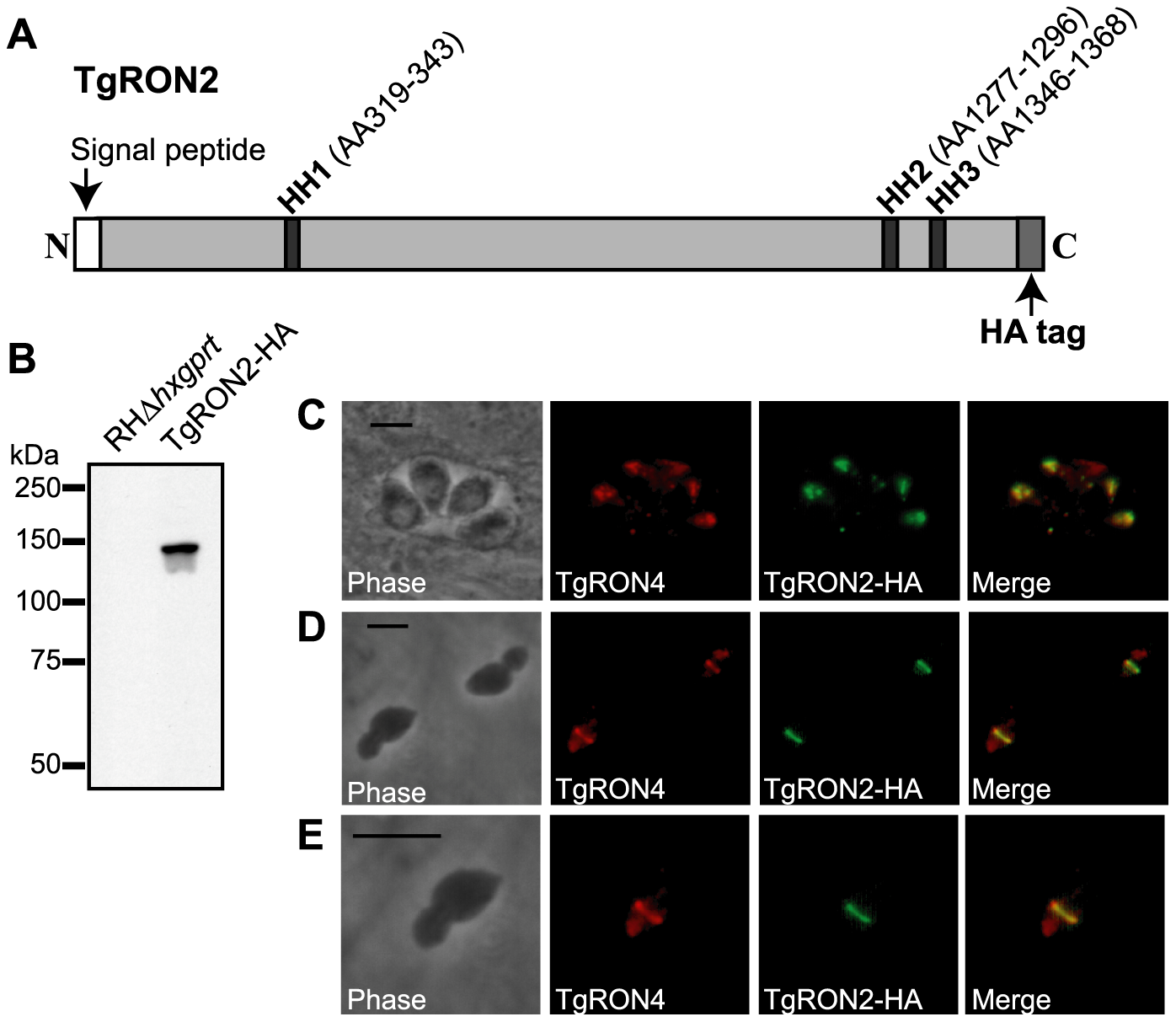 Visualization of TgRON2-HA in the rhoptry necks and at the MJ.