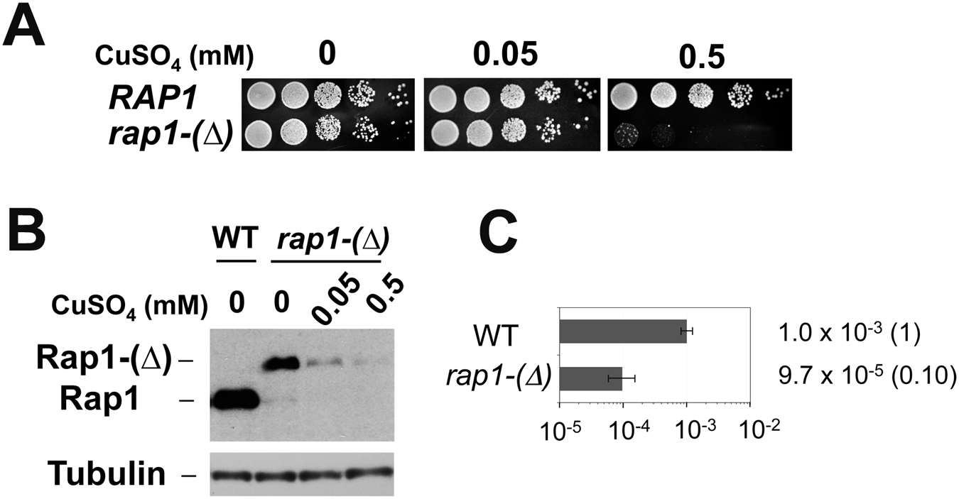 Requirement of Rap1 on chromosome truncation at TG repeats.