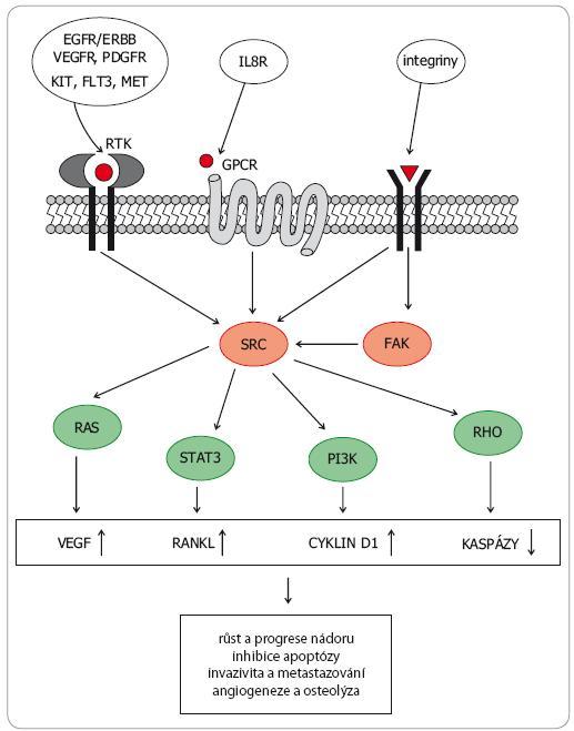 Schematické znázornění přenosu signálu z vnějšího prostředí přes SRC a FAK kinázy na nitrobuněčné signální dráhy a důsledky aktivace těchto drah pro biologické chování nádoru.