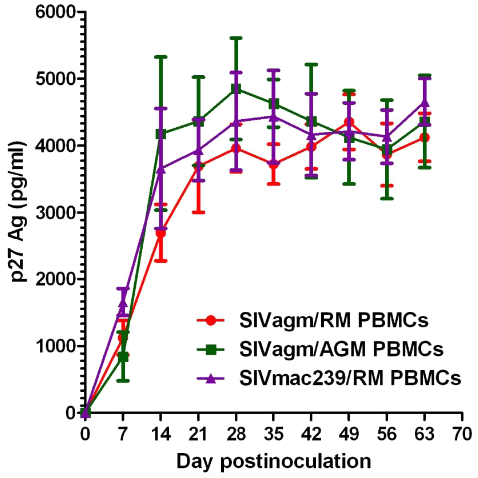 In vitro SIVagm replication on PBMCs from rhesus macaques and AGMs.