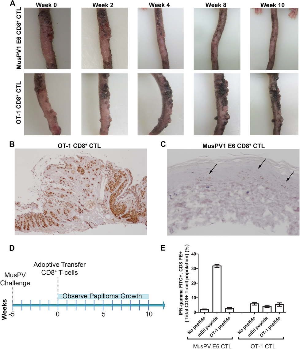 Control of established papilloma by adoptive transfer of MusPVE6-specific CD8+ T cell line.