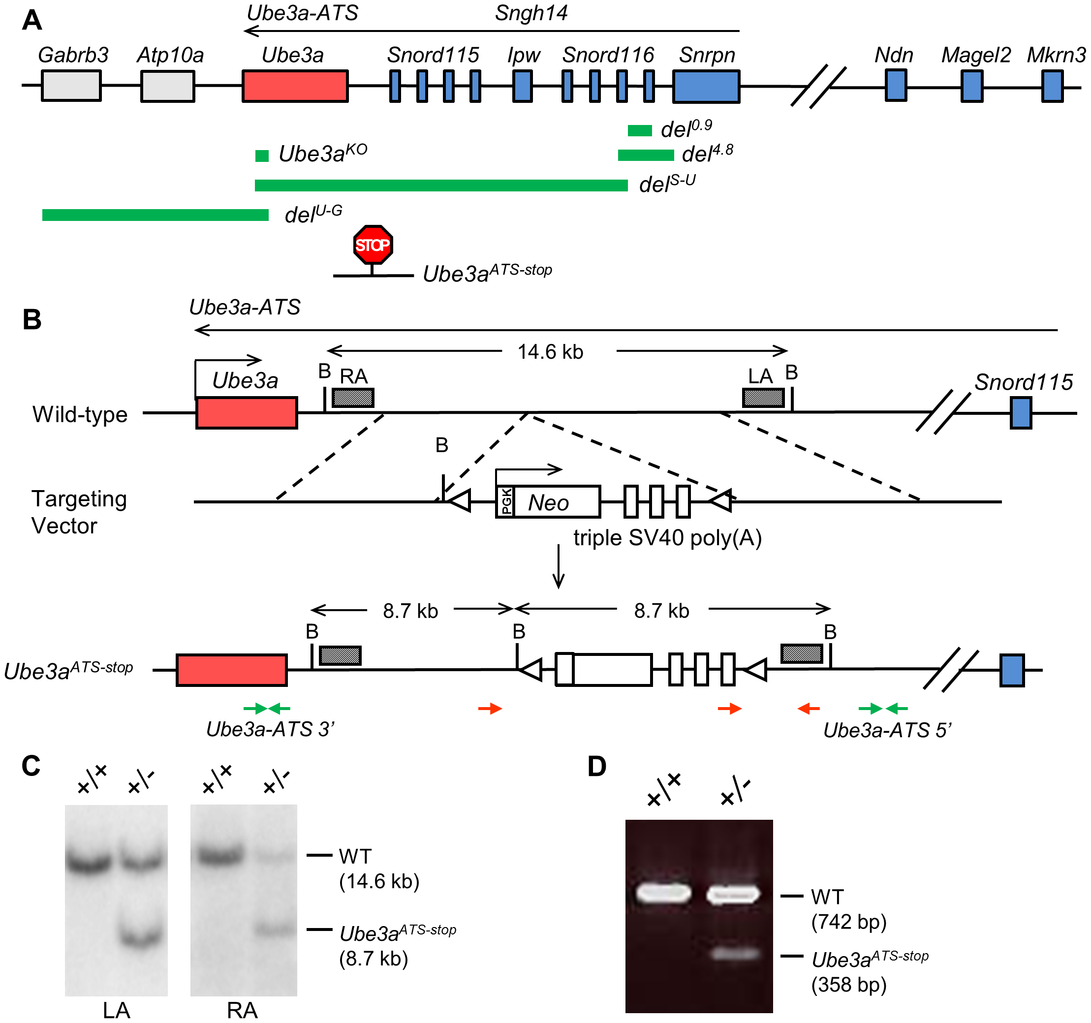 The transcriptional stop cassette was inserted downstream of <i>Ube3a</i> via homologous recombination.