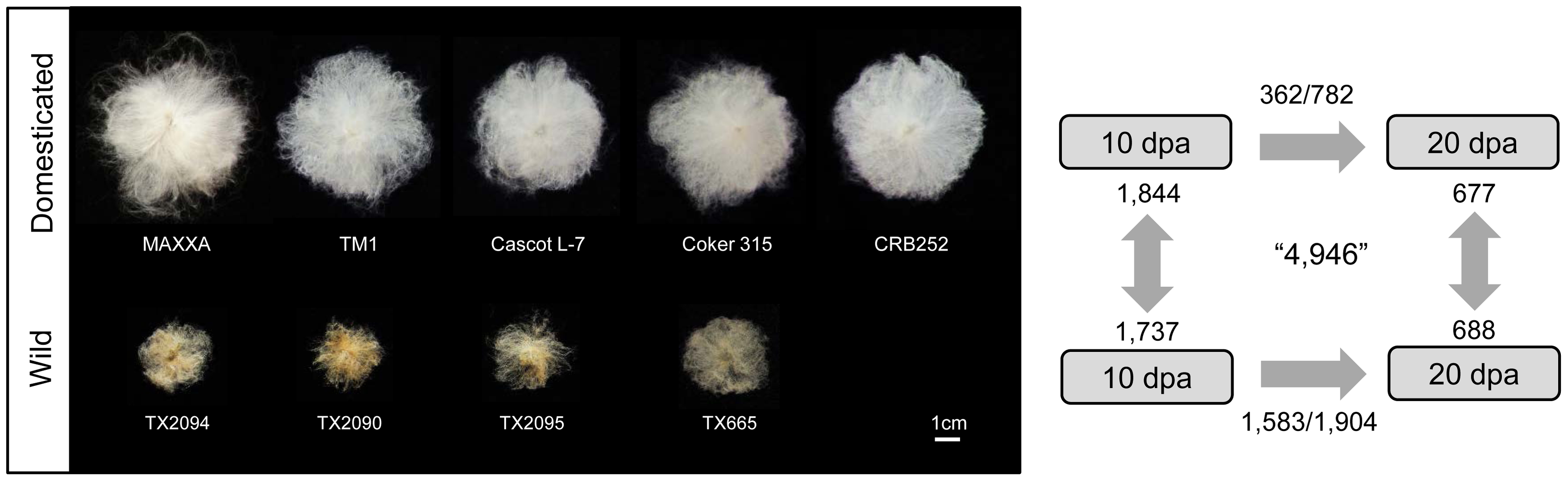 Number of genes differentially expressed during fiber development within and between wild and domesticated cottons.