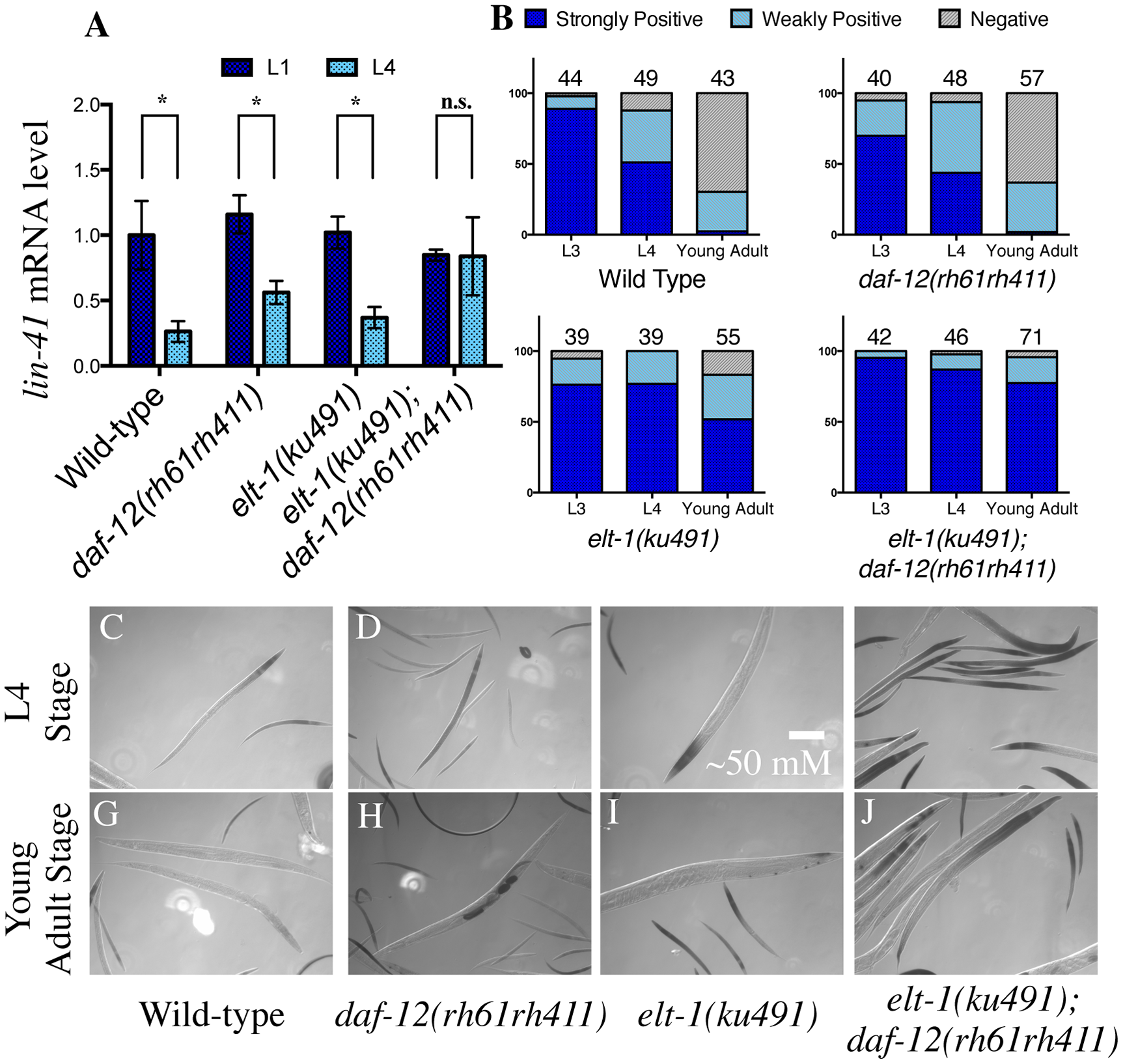 <i>elt-1(ku491);daf-12(rh61rh411)</i> double-mutant animals fail to down-regulate the heterochronic gene <i>lin-41</i> during development.