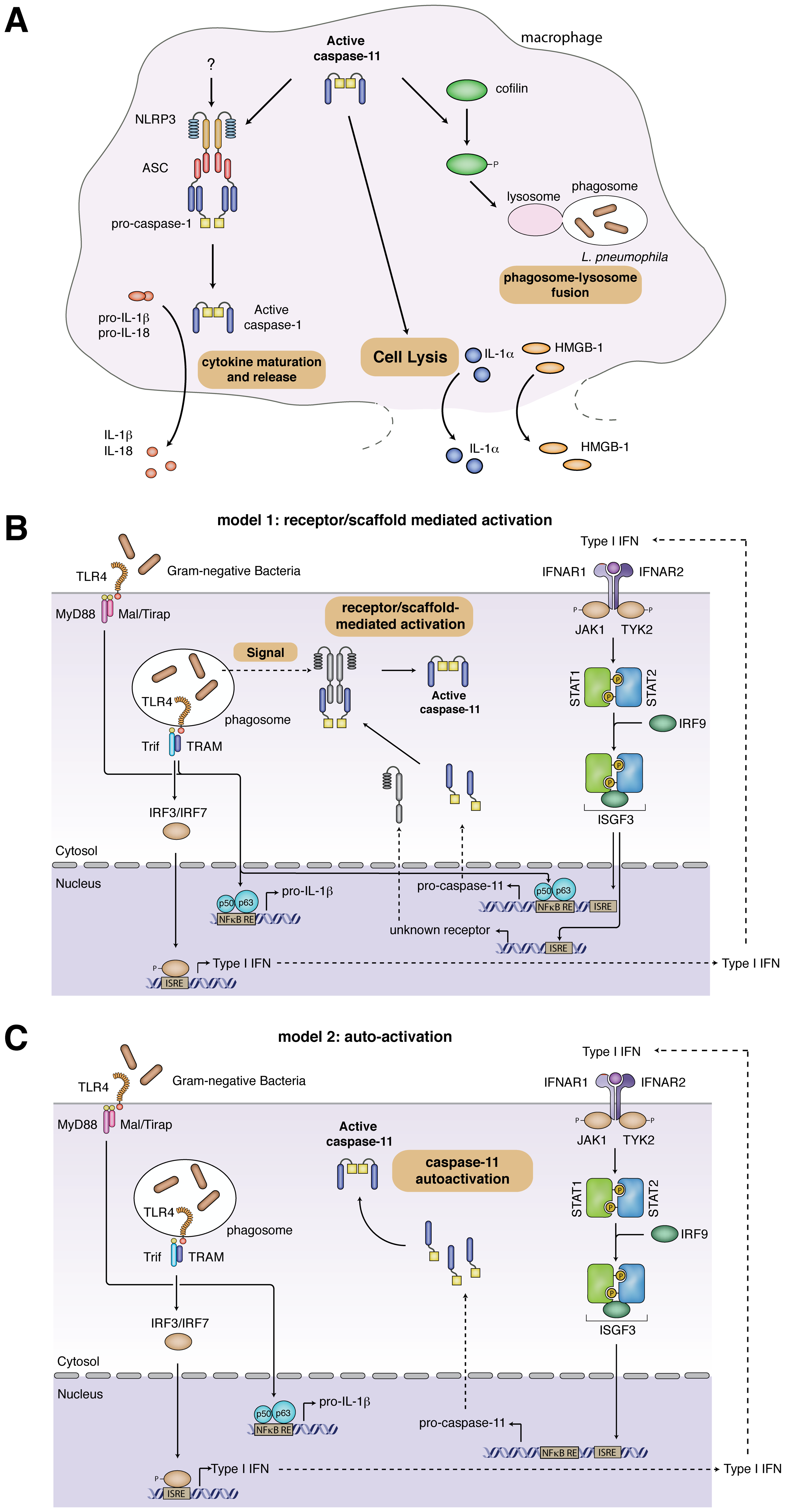 Caspase-11 effector functions and models for caspase-11 activation.