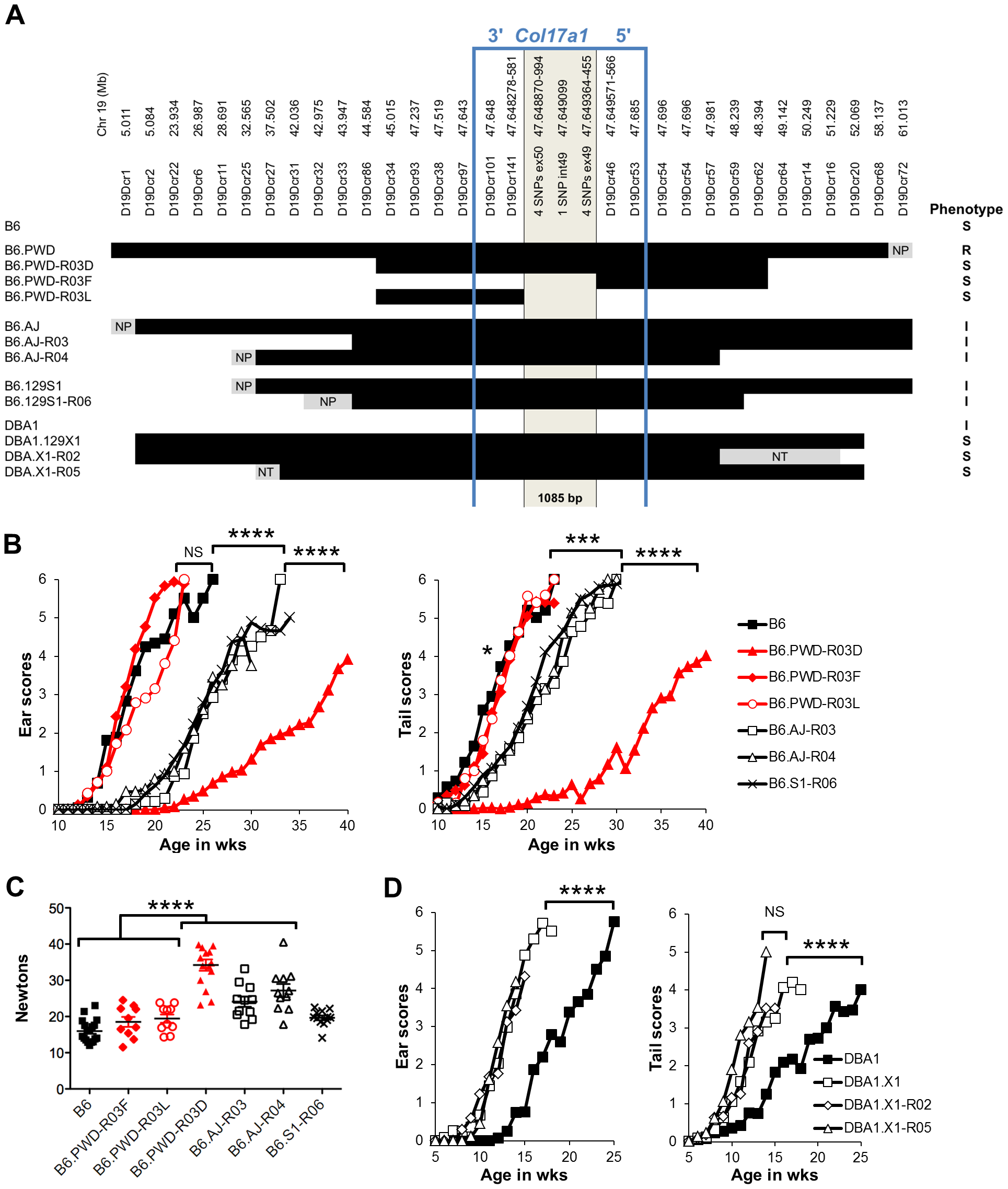Reduced congenic mapping limits the modifier to within <i>Col17a1</i>.