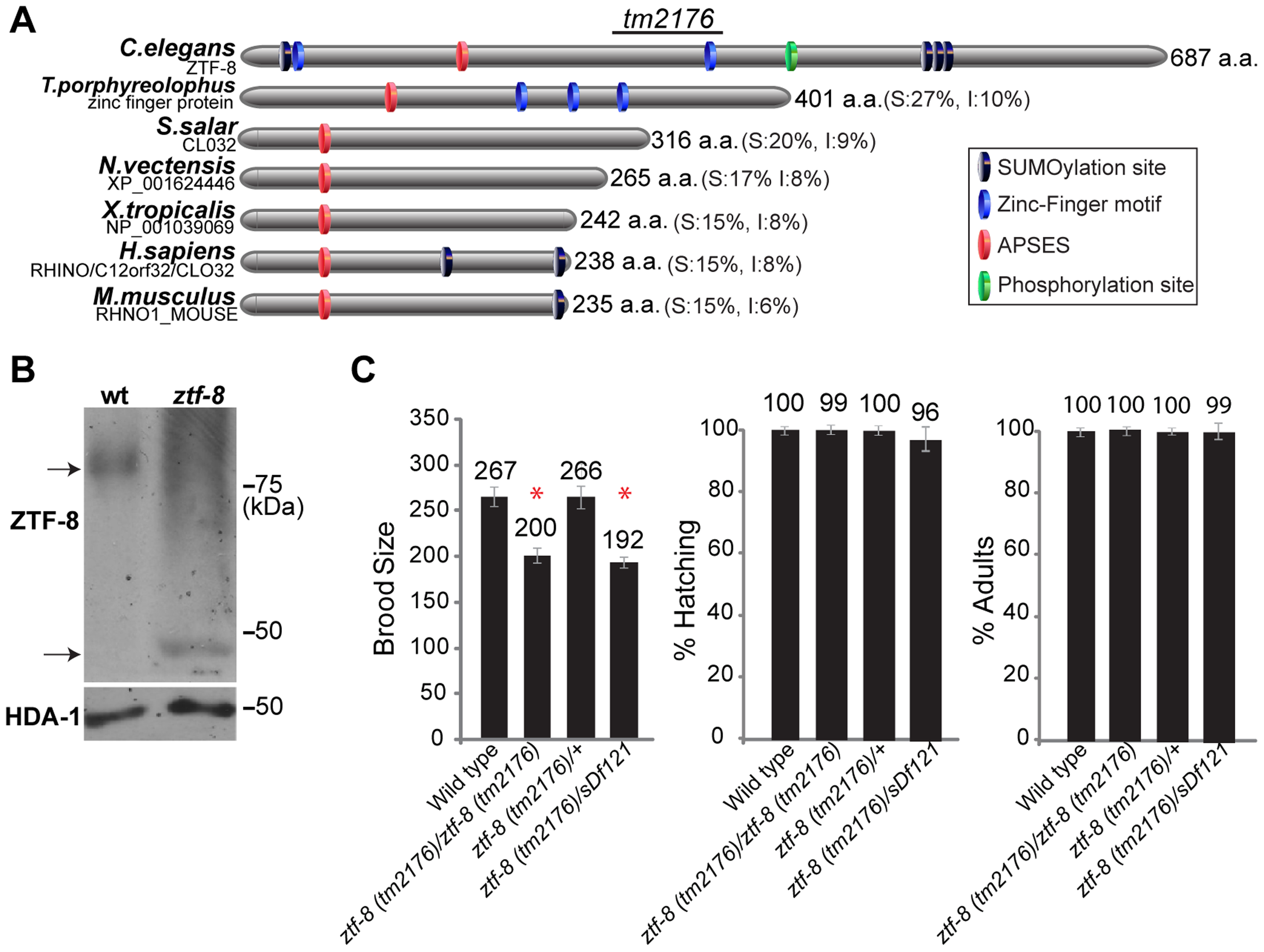 ZTF-8 is a conserved protein required for normal brood size.