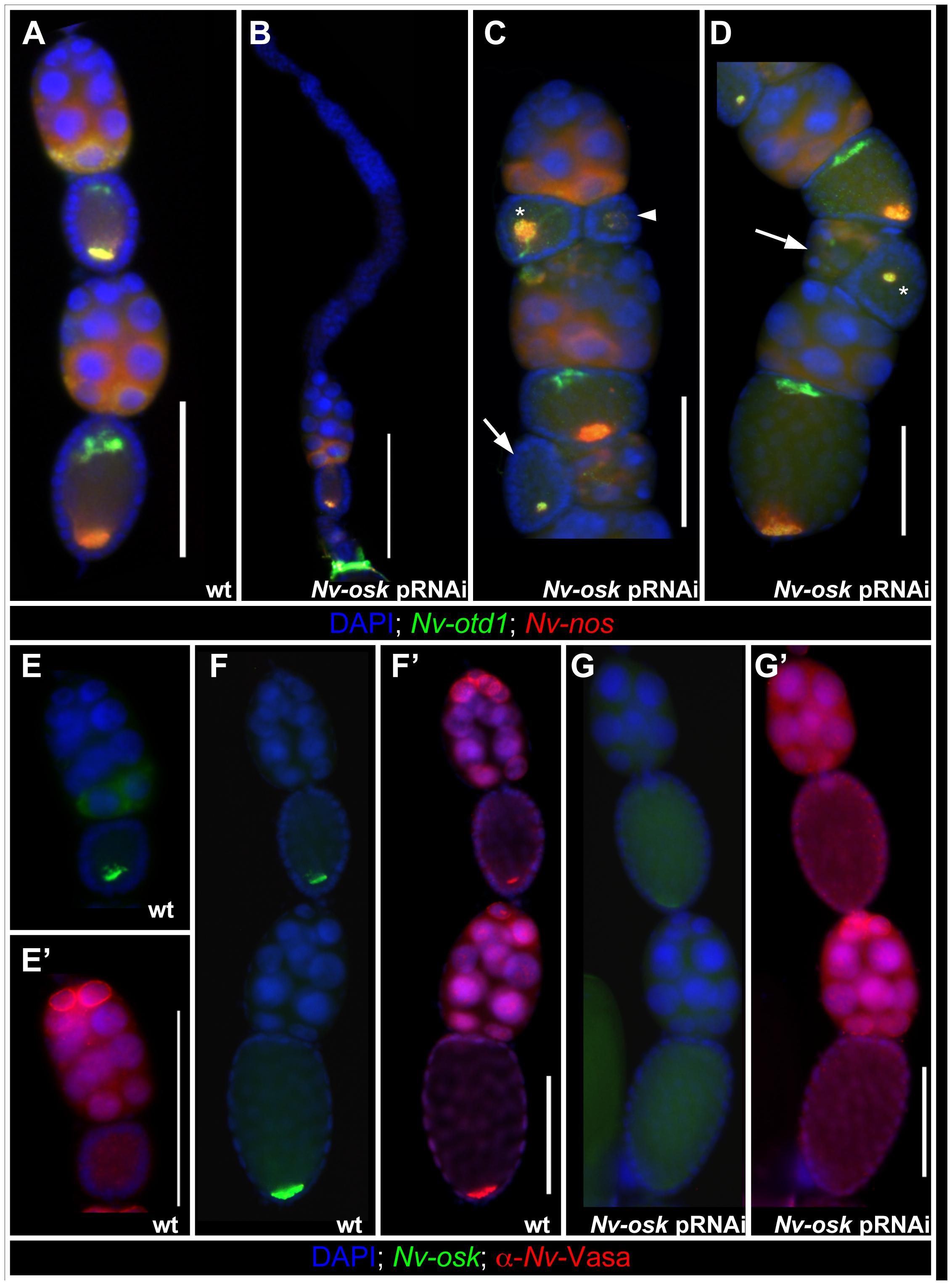 Effects of <i>Nv-osk</i> pRNAi during oogenesis.