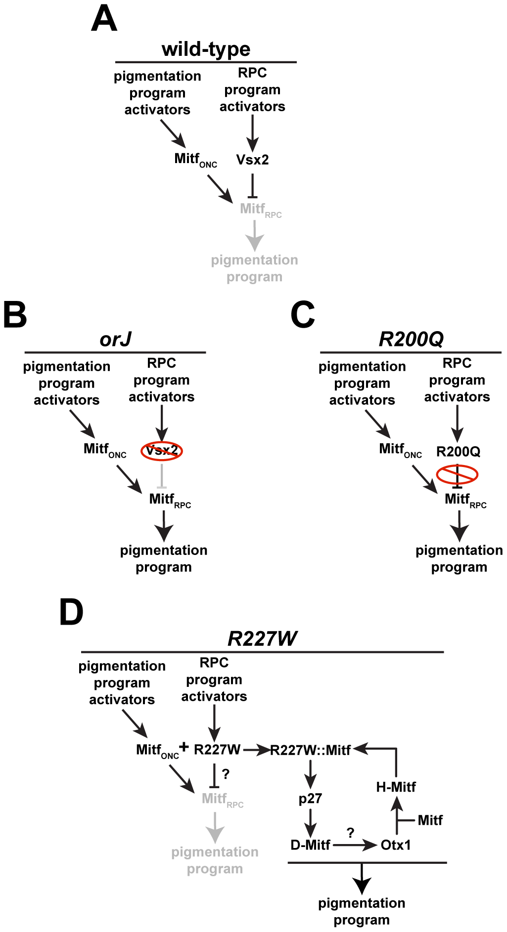 Regulation of pigmentation programs in wild-type and mutant RPCs.