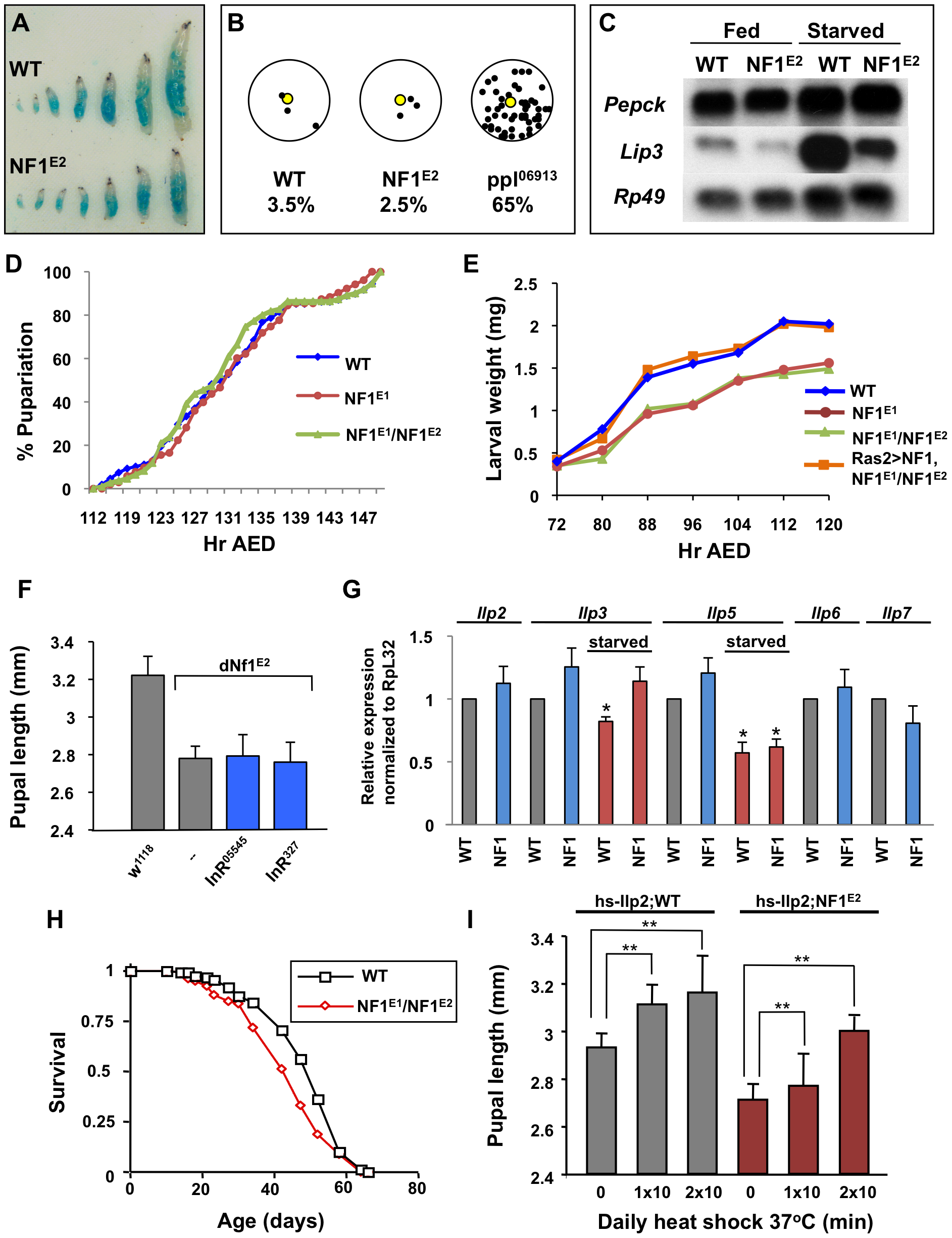 Loss of <i>dNf1</i> does not phenocopy starvation or alter developmental timing.