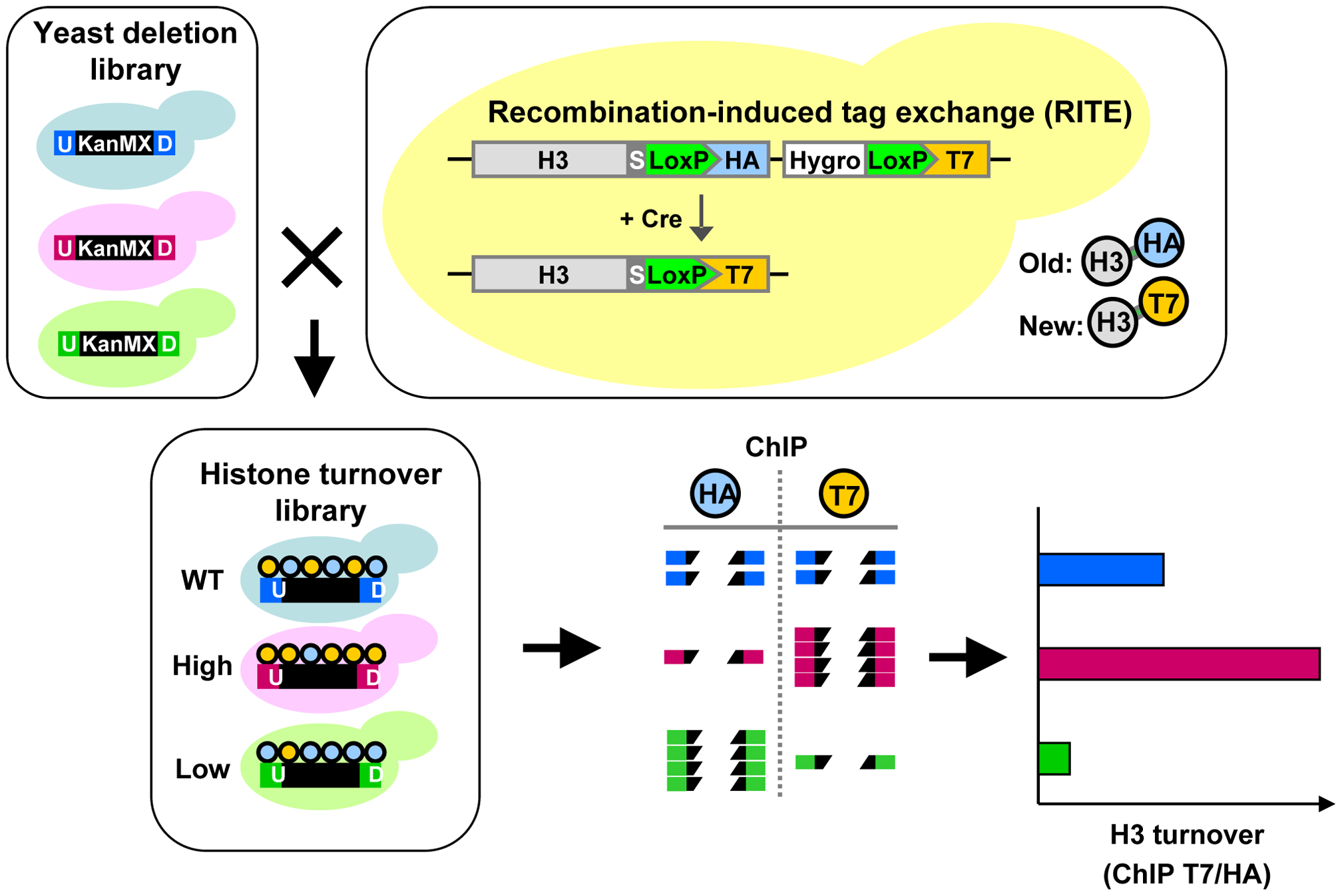 Combining Epi-ID with RITE to screen for histone turnover mutants.