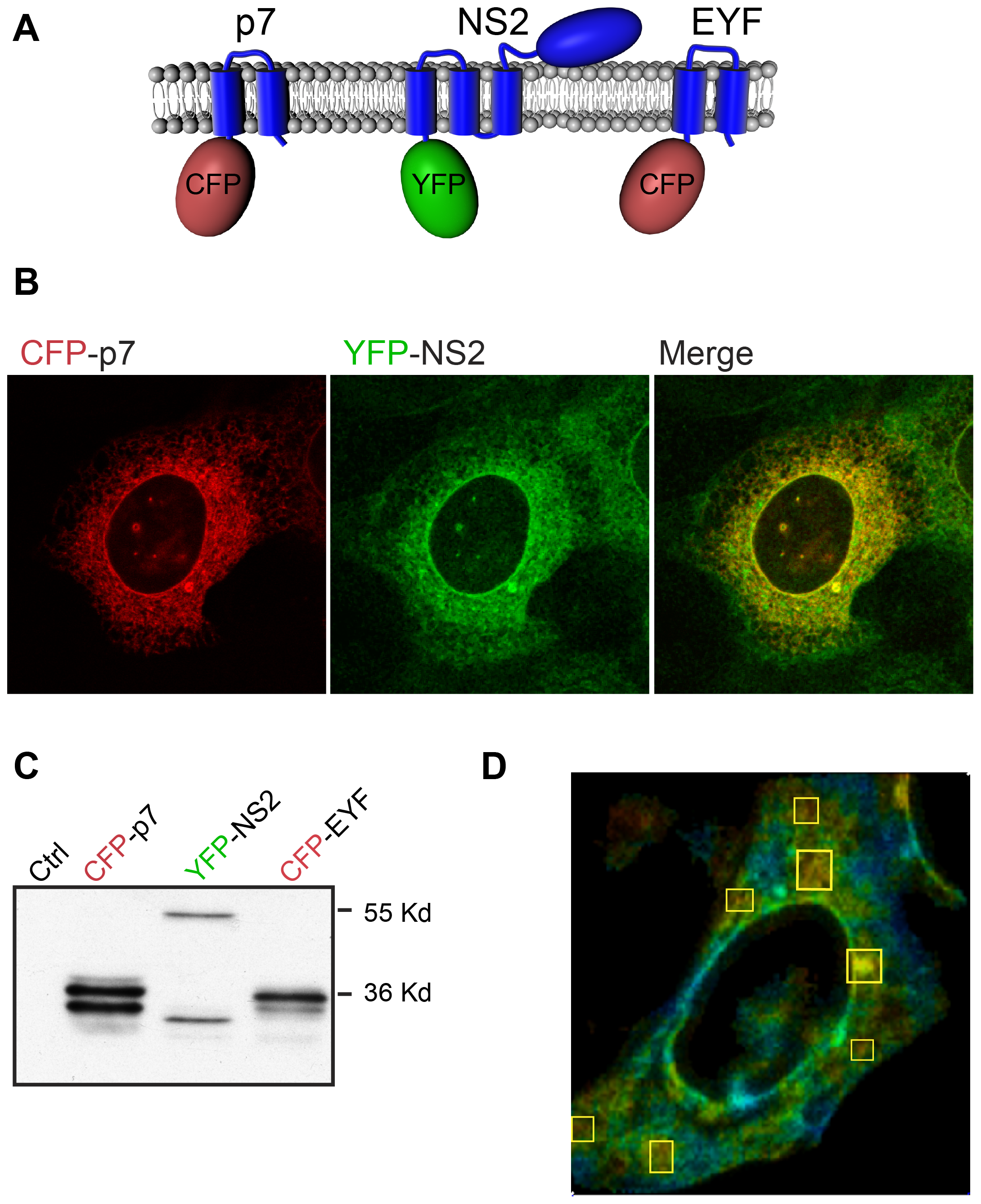 NS2 and p7 interact in FRET-FLIM analyses.