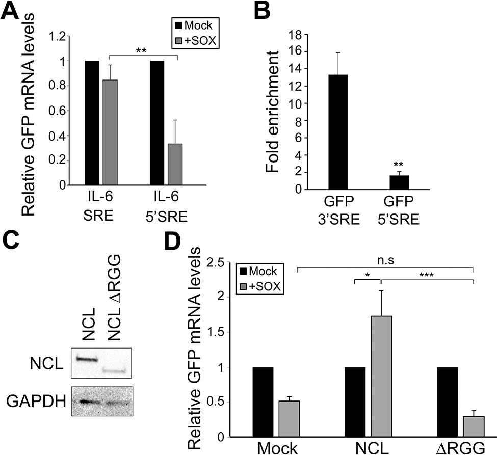 SRE-mediated protection is linked to its position and NCL protein-protein interactions.