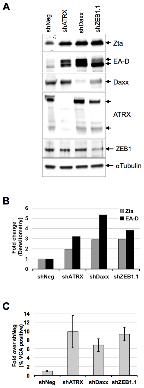 ATRX and Daxx depletion leads to reactivation of latent EBV.