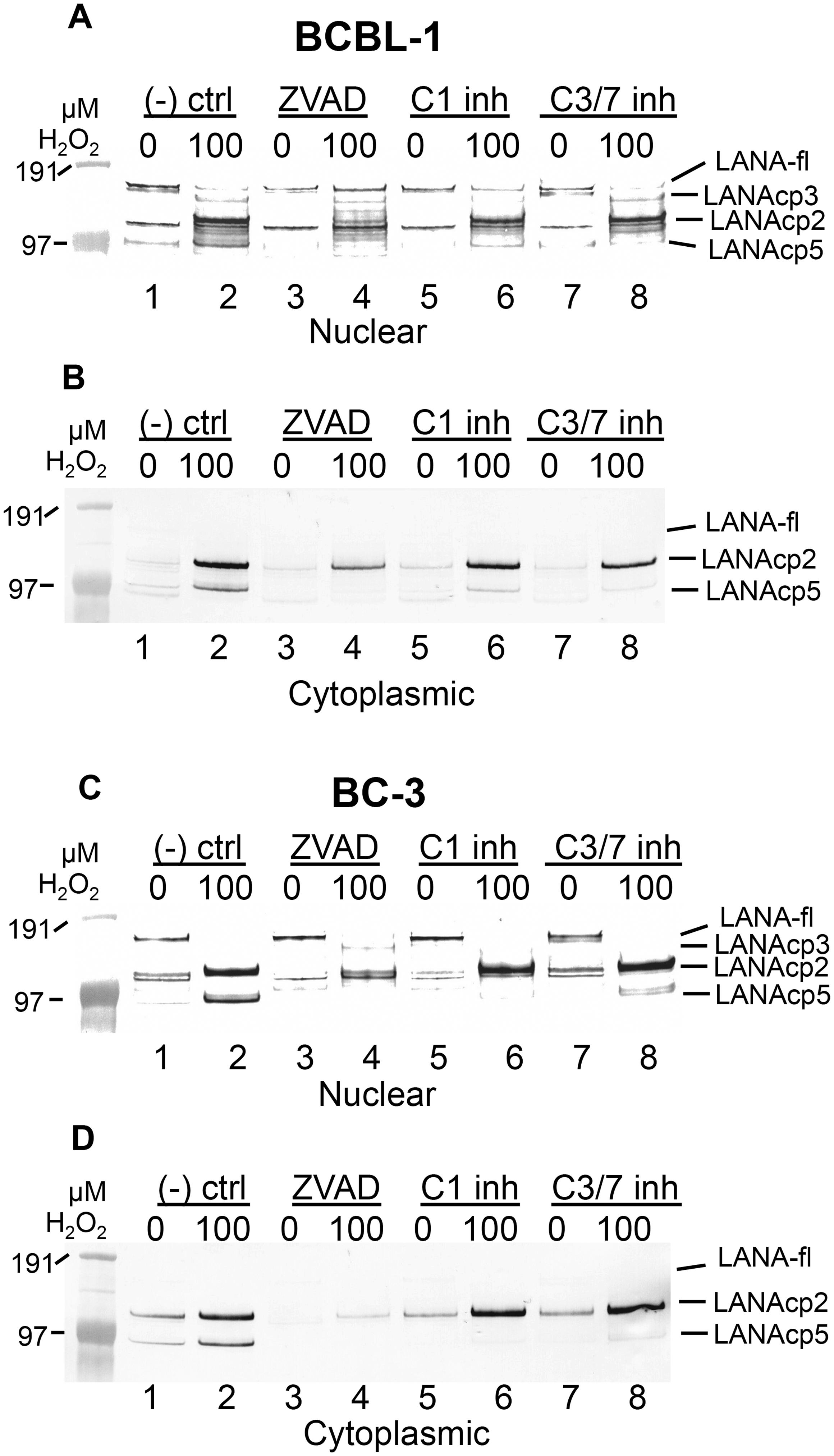 Caspase inhibitors block oxidative stress-induced changes in LANA.