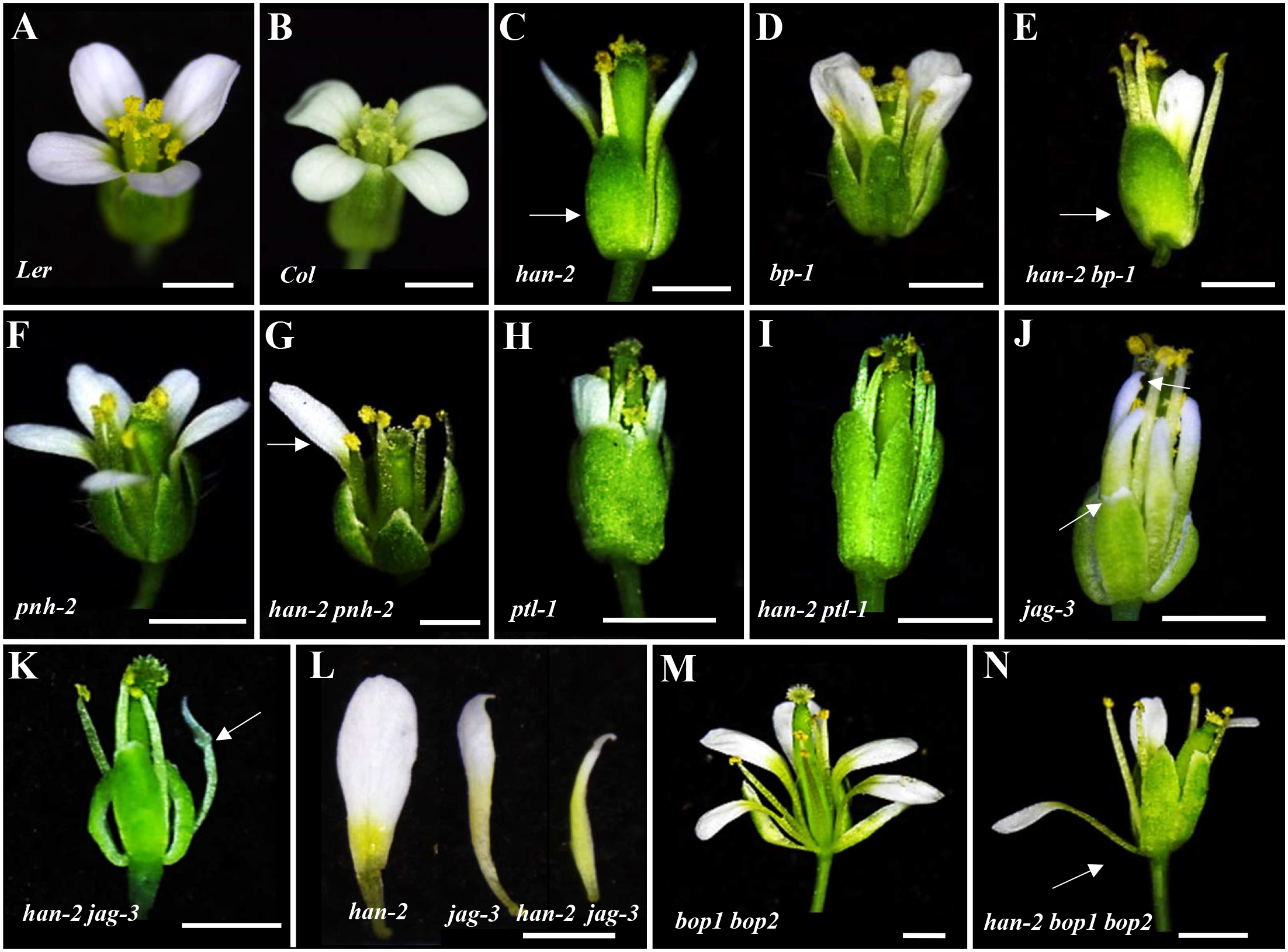 Genetic interactions of <i>HAN</i> with meristem and primordia regulators during flower development.