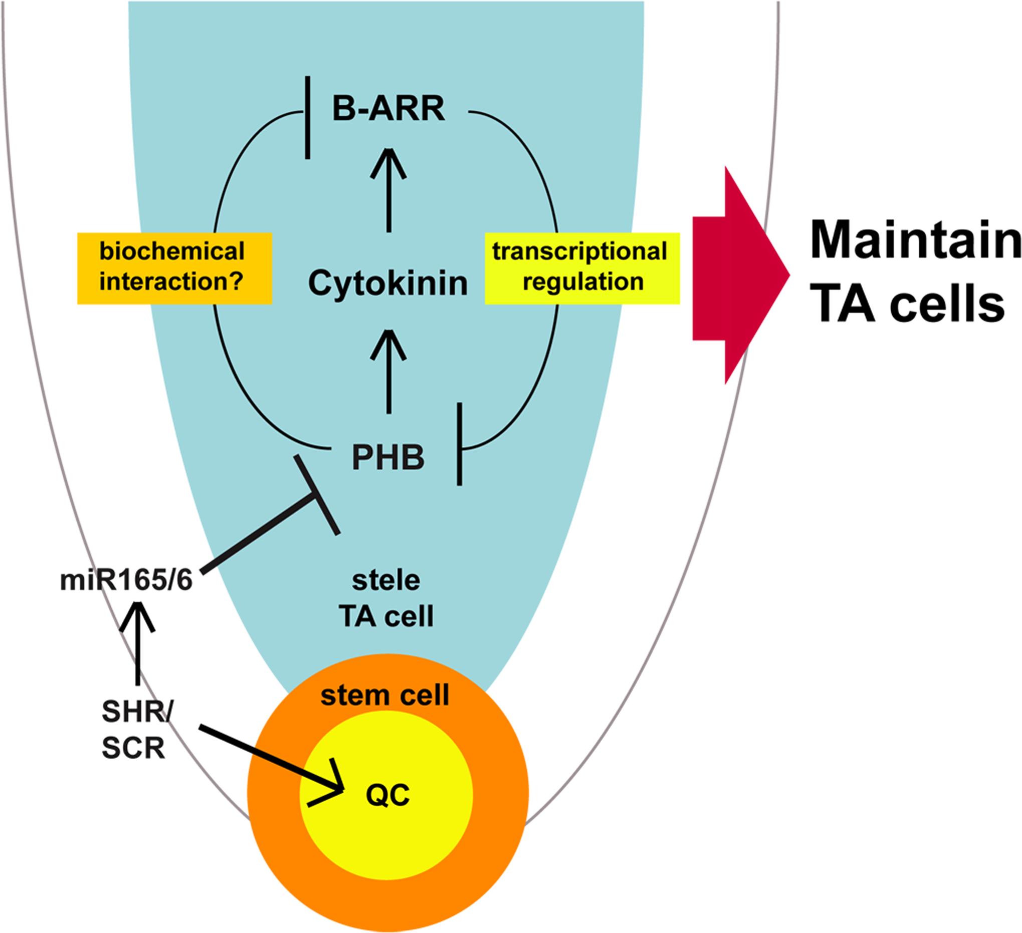A model of SHR-PHB-cytokinin signaling in post-embryonic root growth.