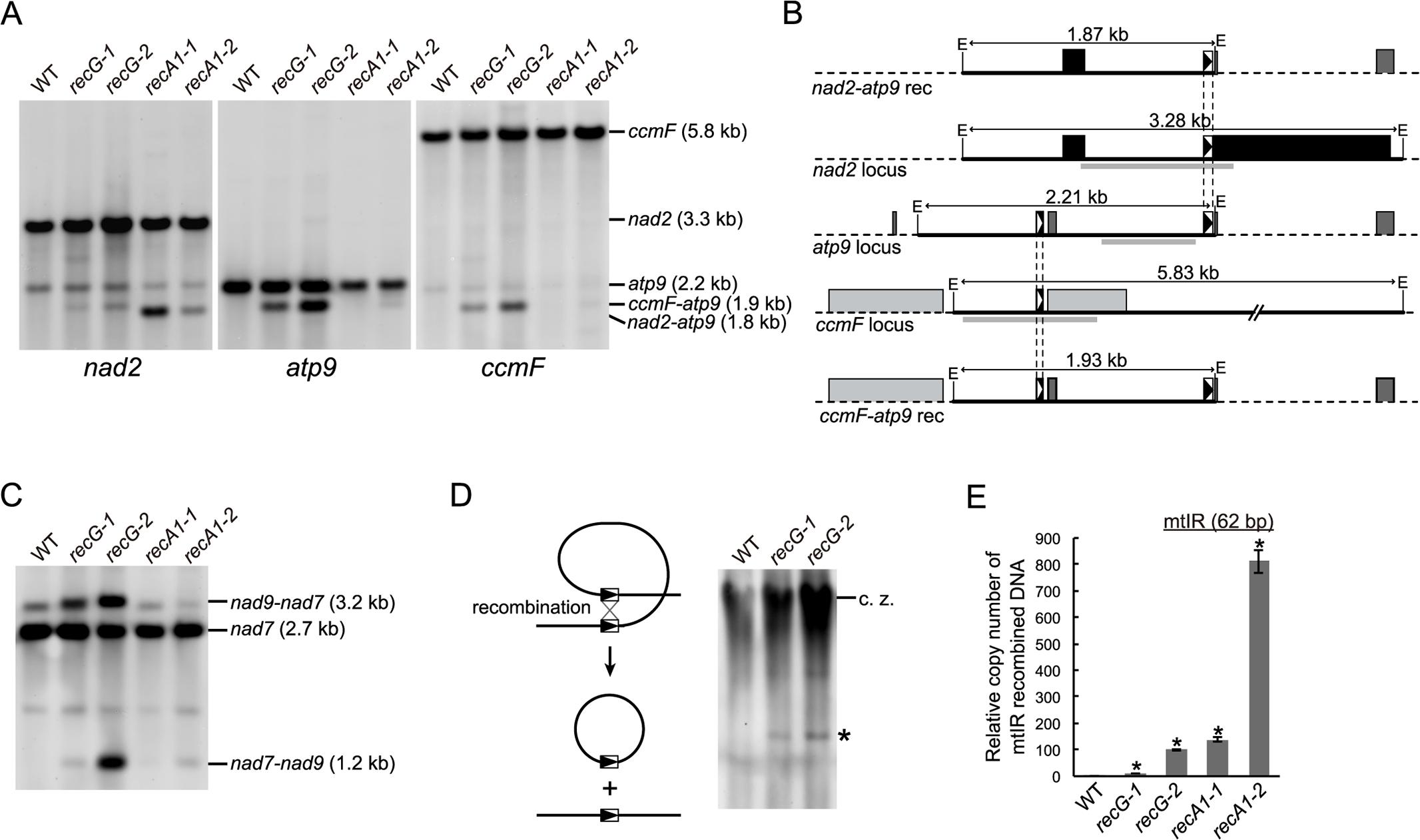 mtDNA rearrangements in <i>RECG</i> KO lines.