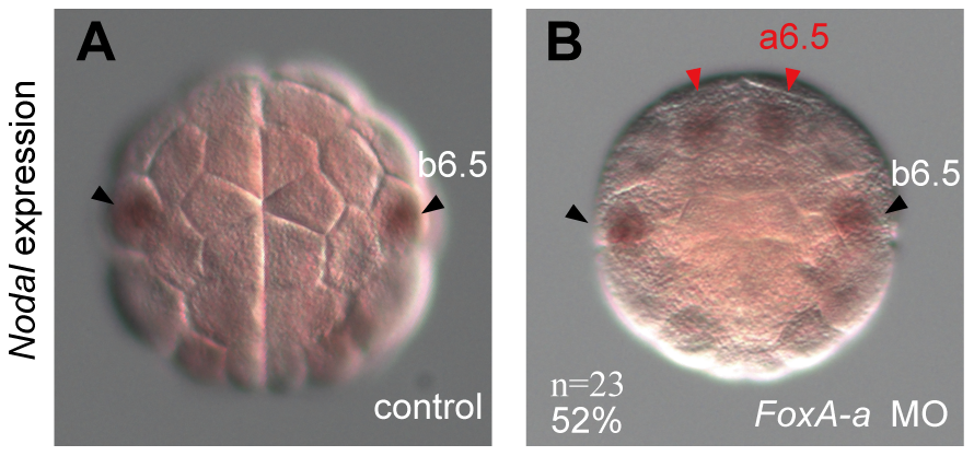 <i>FoxA-a</i> negatively regulates <i>Nodal</i> expression in the anterior neural cells.