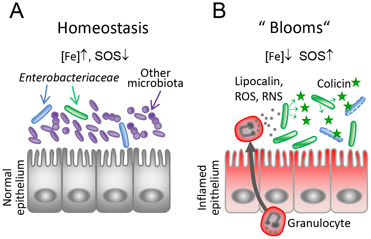Model for the role of colicins for bacterial competition in inflammation-induced blooms.
