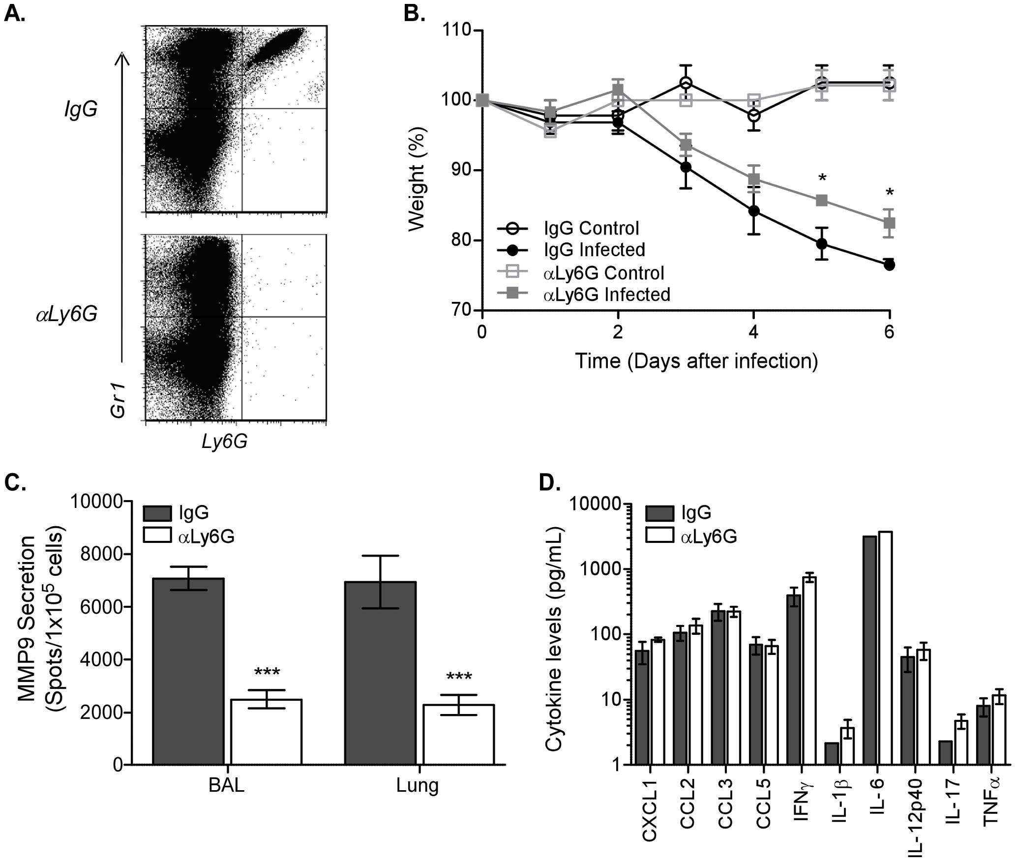 Depletion of neutrophils abrogates MMP9 secretion after influenza virus infection.