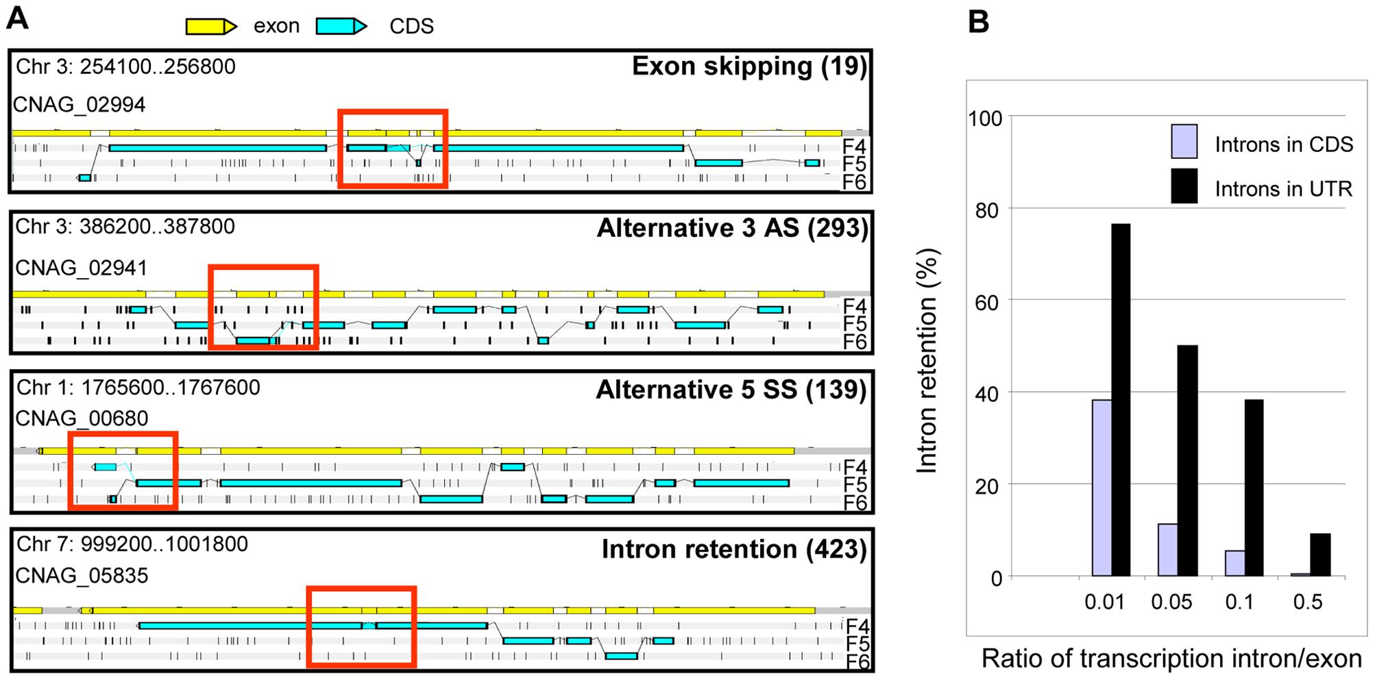 Alternative splicing in <i>C. neoformans</i> var. <i>grubii</i>.