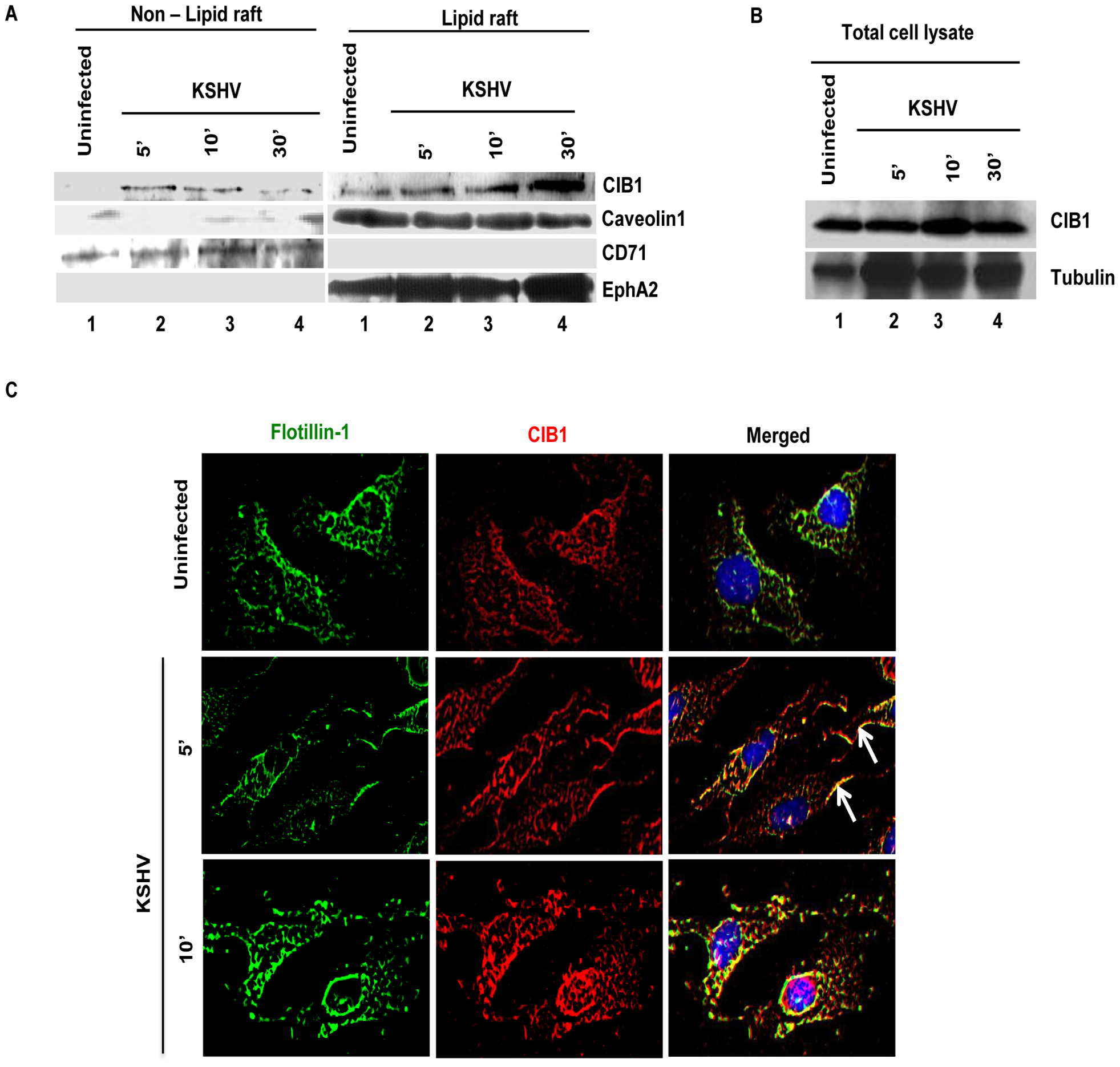 CIB1 association with membrane lipid rafts of HMVEC-d cells early during <i>de novo</i> KSHV infection.