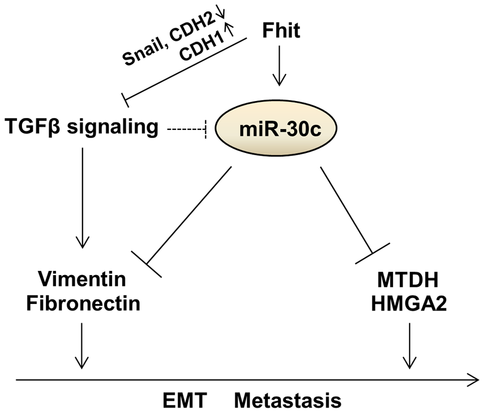 Proposed model for the function of the FHIT and miR-30c in lung metastasis and EMT.